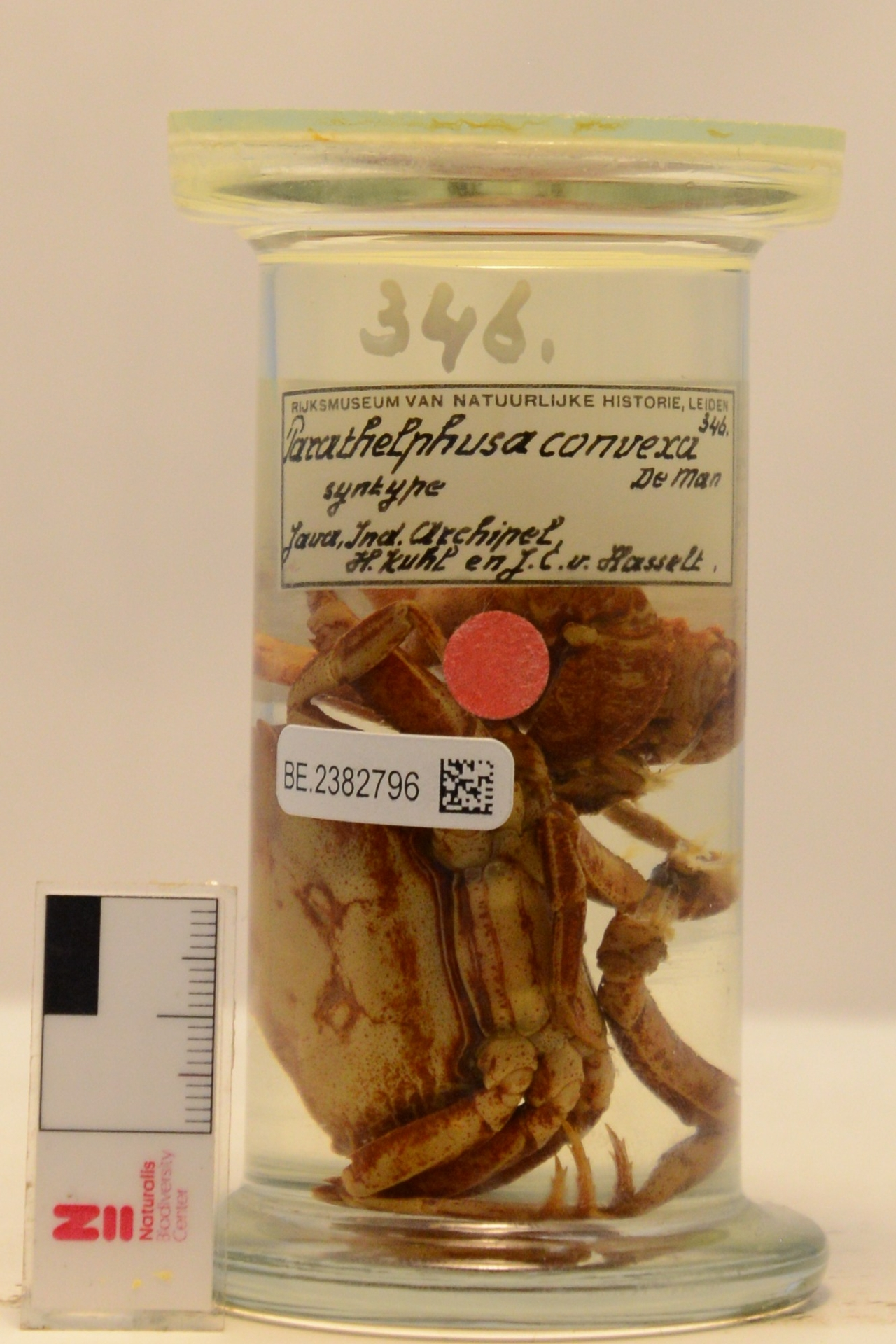 RMNH.CRUS.D.346 | Parathelphusa convexa de Man, 1879
