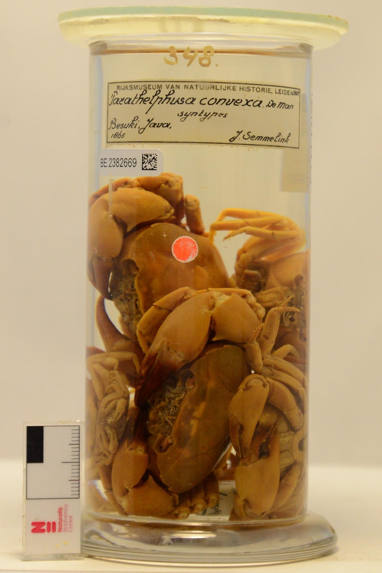 RMNH.CRUS.D.348 | Parathelphusa convexa de Man, 1879