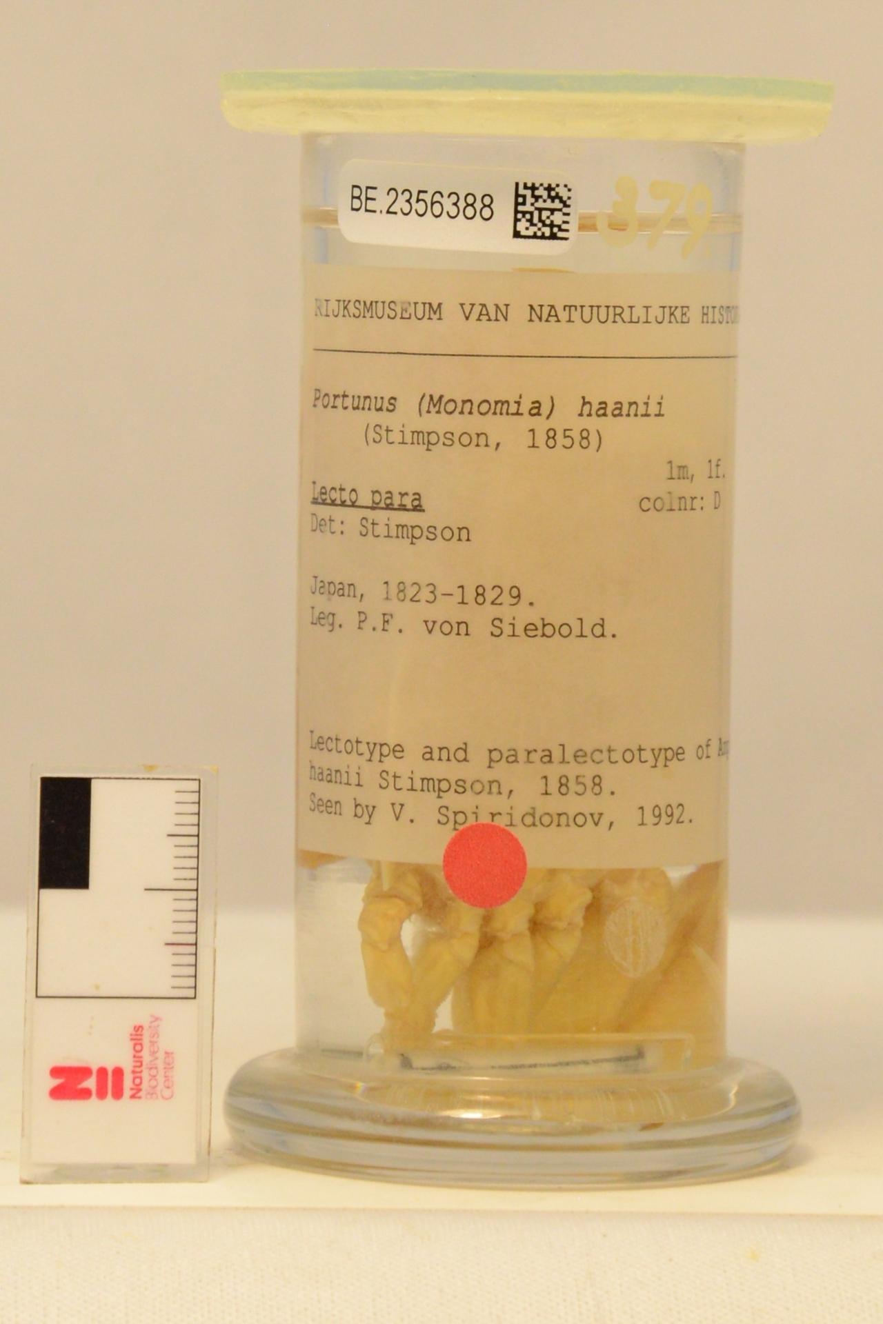 RMNH.CRUS.D.379 | Portunus (Monomia) haanii (Stimpson, 1858)