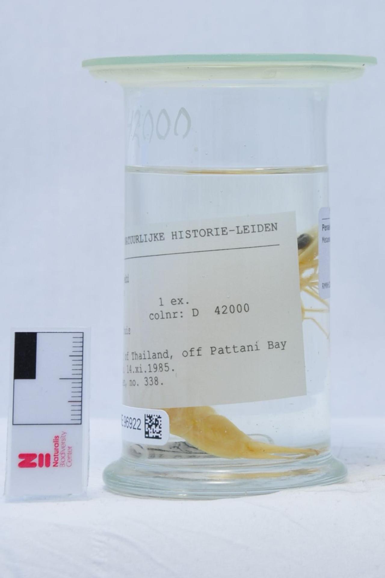 RMNH.CRUS.D.42000 | Metapenaeus moyebi Kishinouye