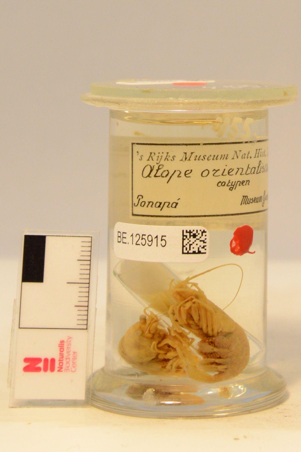 RMNH.CRUS.D.455 | Alope orientalis (De Man, 1890)