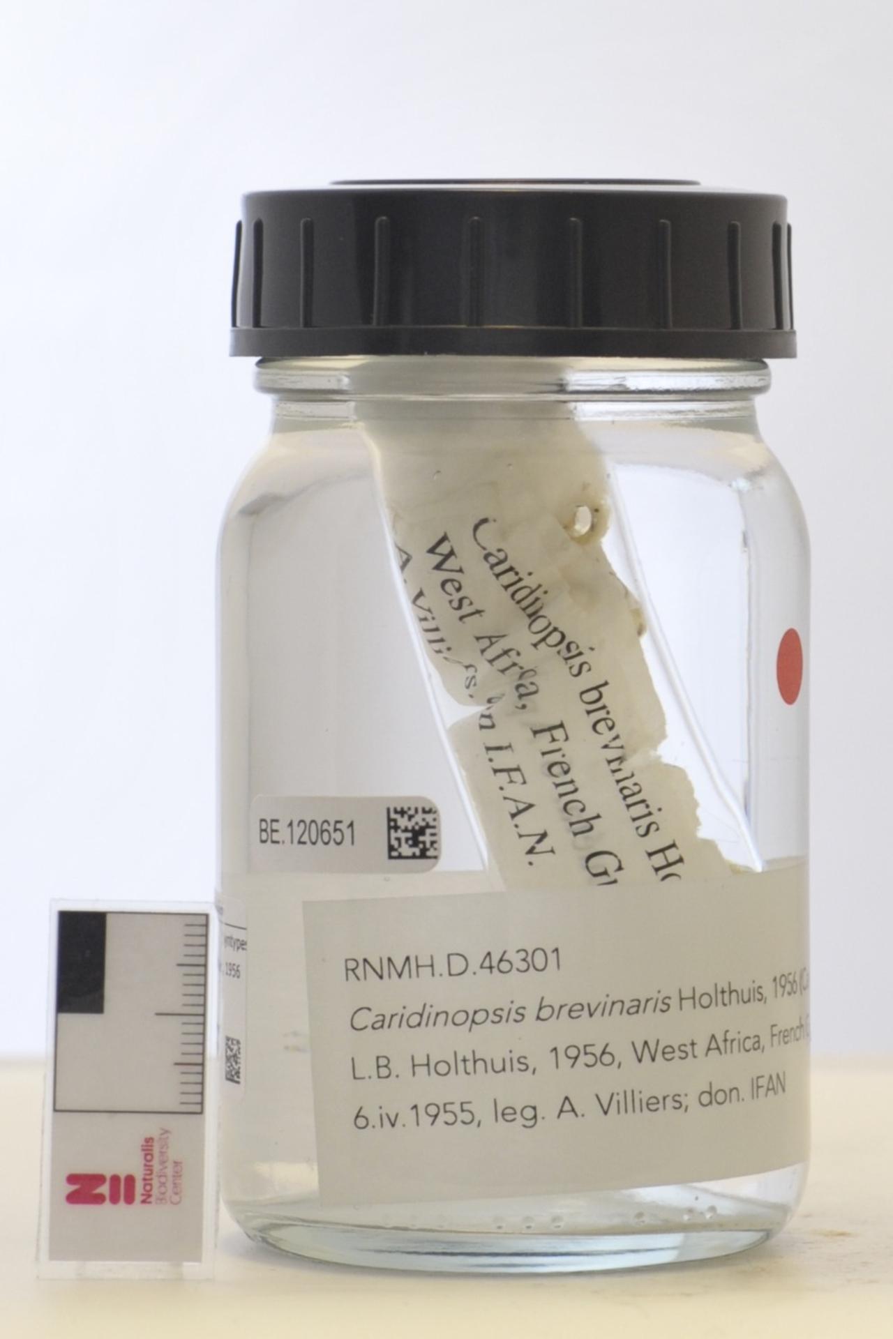 RMNH.CRUS.D.46301 | Caridinopsis brevinaris Holthuis, 1956