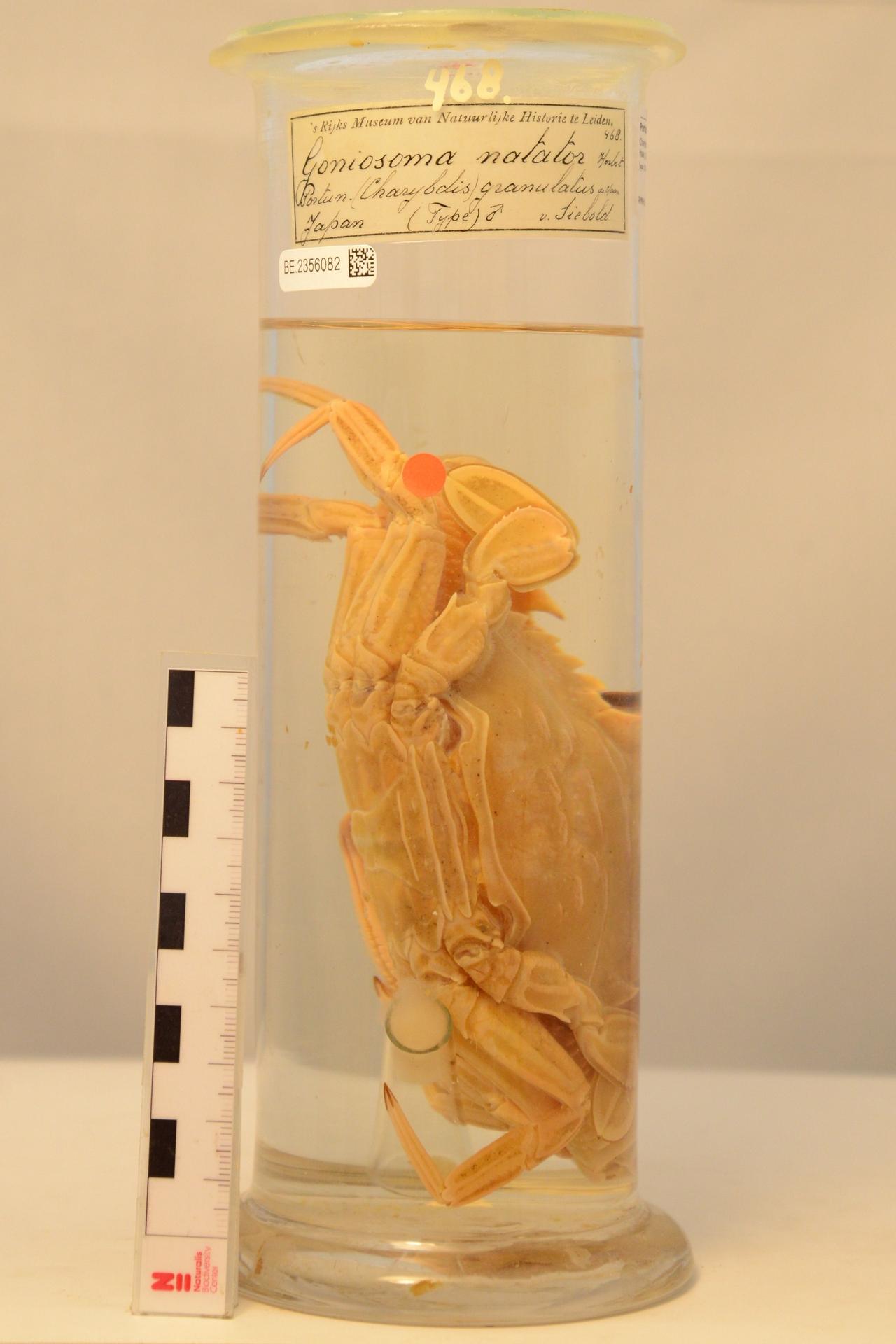RMNH.CRUS.D.468 | Charybdis (Charybdis) granulata (De Haan, 1833)