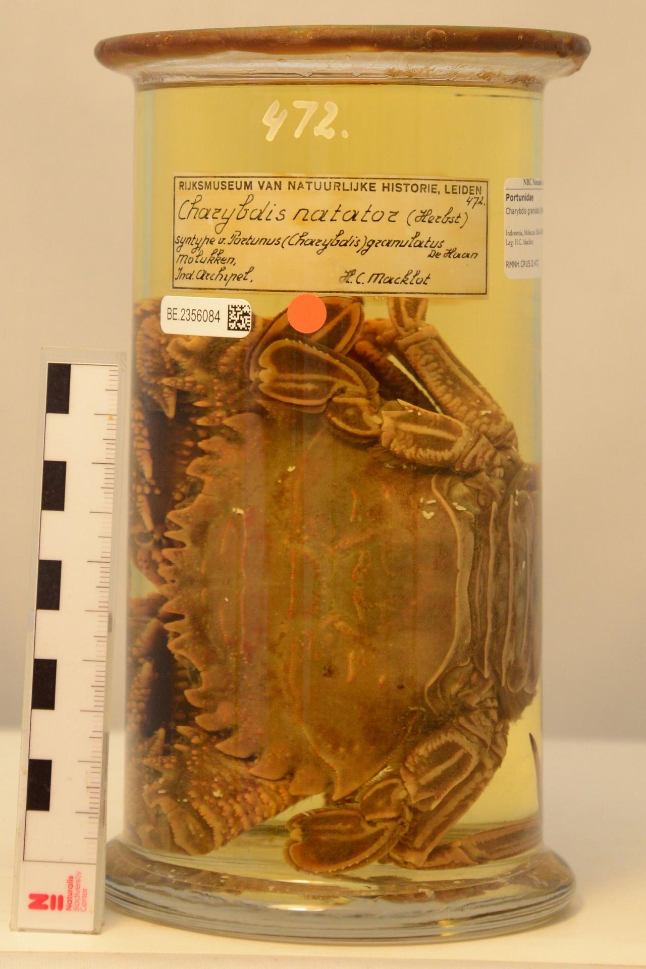 RMNH.CRUS.D.472   Charybdis granulata (De Haan, 1833)