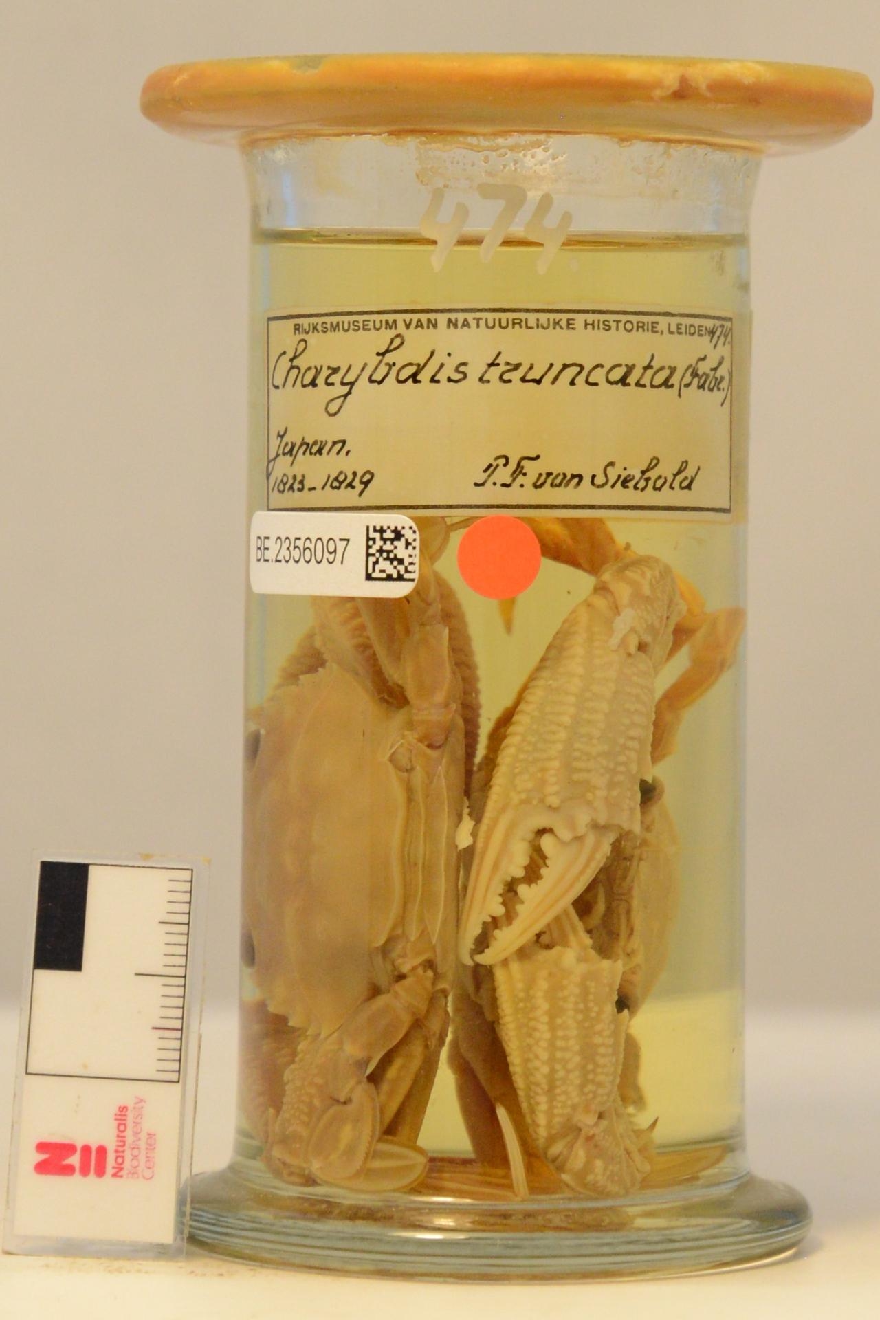 RMNH.CRUS.D.474 | Charybdis (Goniohellenus) truncata (Fabricius, 1798)