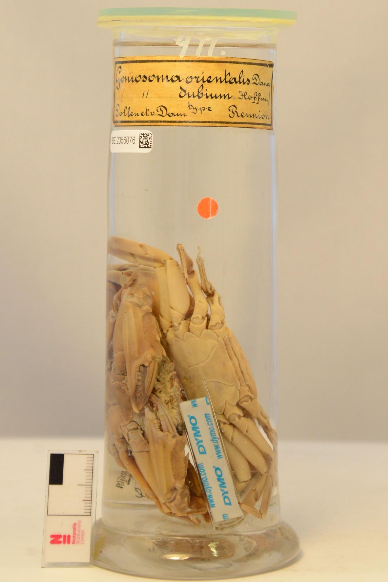 RMNH.CRUS.D.477   Charybdis (Charybdis) orientalis Dana, 1852