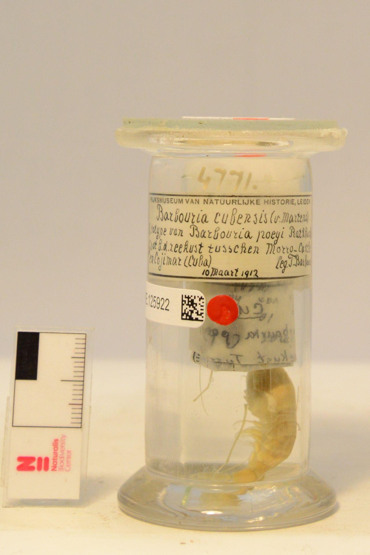 RMNH.CRUS.D.4771 | Barbouria cubensis (v. Martens, 1872)