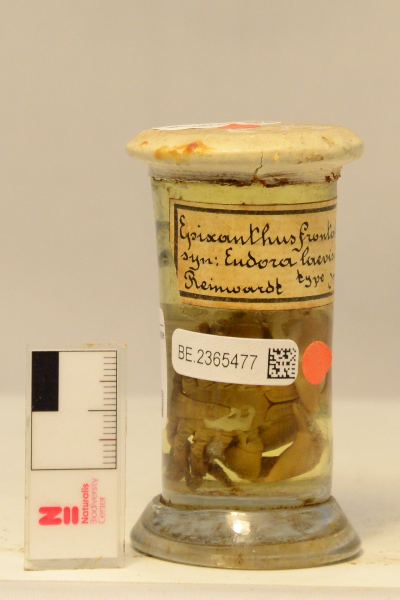 RMNH.CRUS.D.509 | Epixanthus frontalis (H. Milne Edwards, 1834)