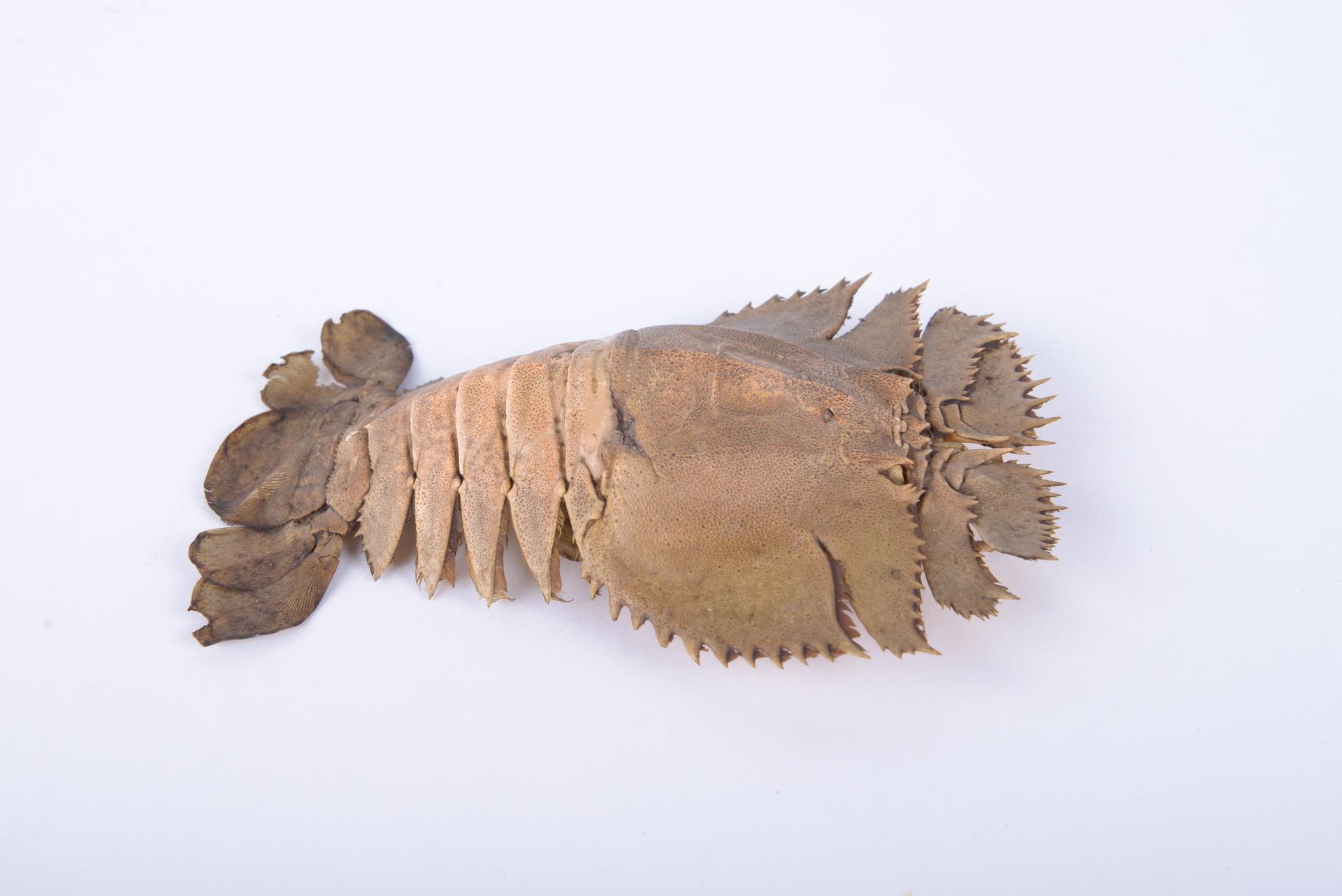 RMNH.CRUS.D.5585   Ibacus ciliatus (von Siebold, 1824)