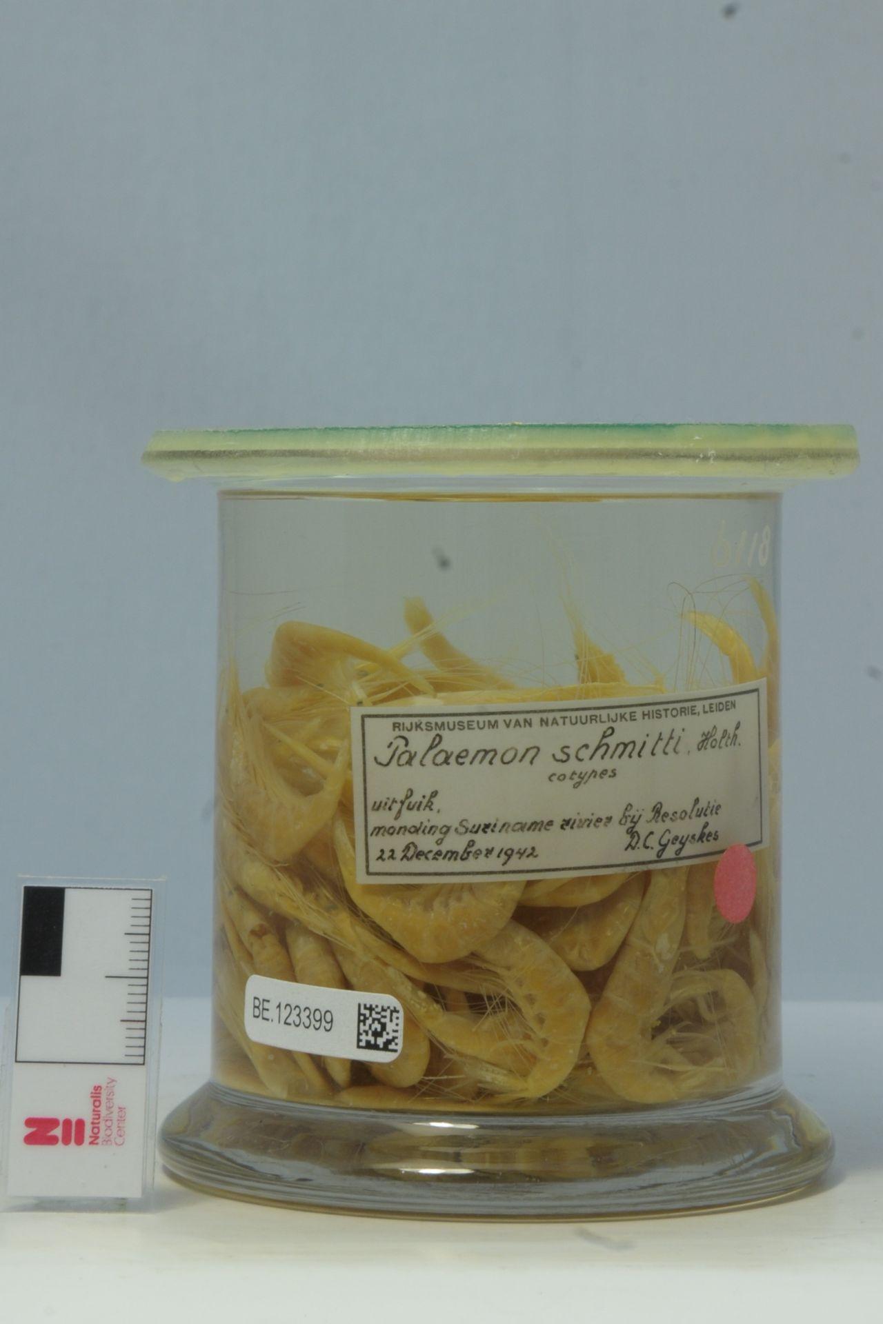RMNH.CRUS.D.6118 | Palaemon schmitti Holthuis, 1950