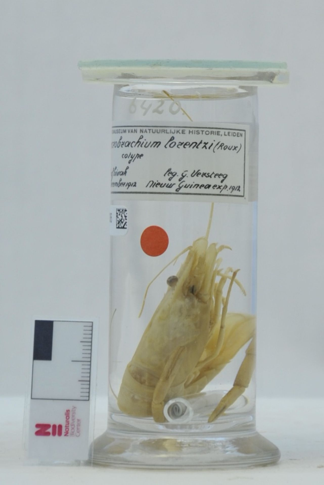 RMNH.CRUS.D.6420 | Macrobrachium lorentzi (Roux, 1921)