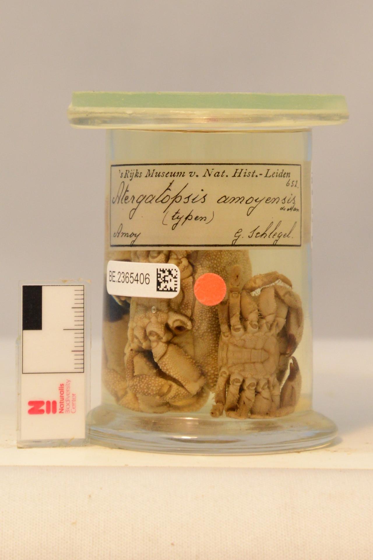 RMNH.CRUS.D.652   Actaea amoyensis (De Man, 1879)
