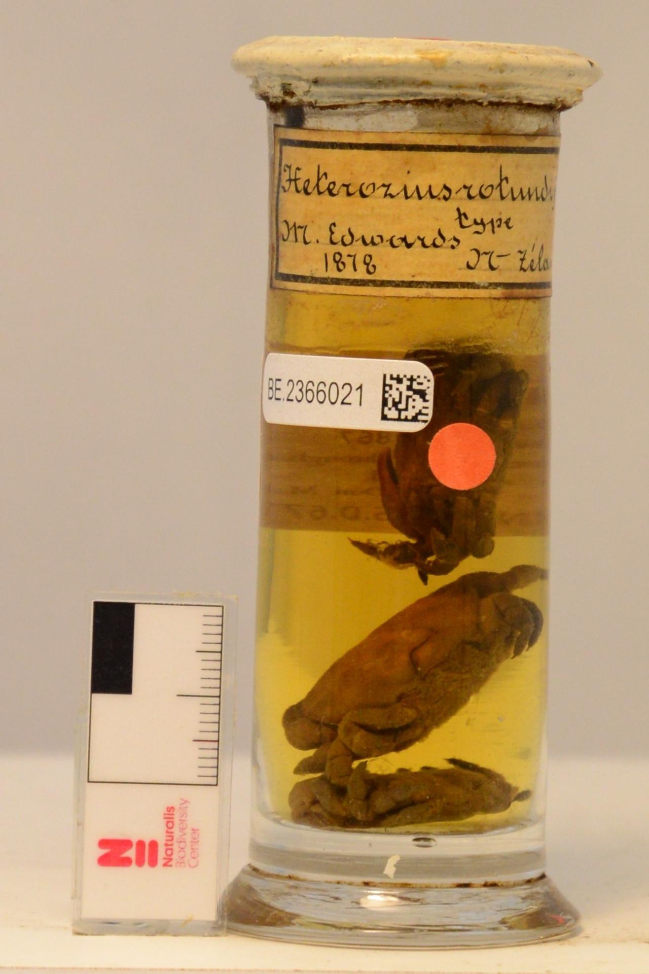 RMNH.CRUS.D.679 | Heterozius rotundifrons A. Milne Edwards, 1867