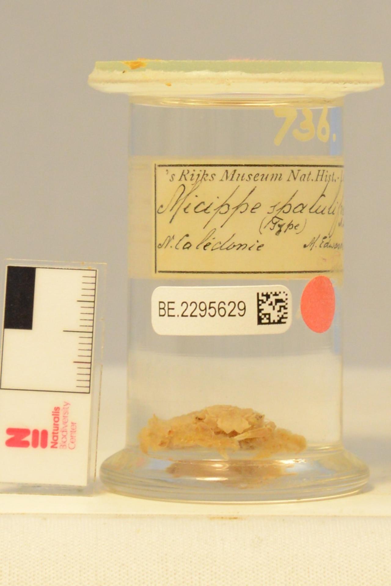 RMNH.CRUS.D.736 | Micippa spatulifrons A. Mile Edwards, 1872