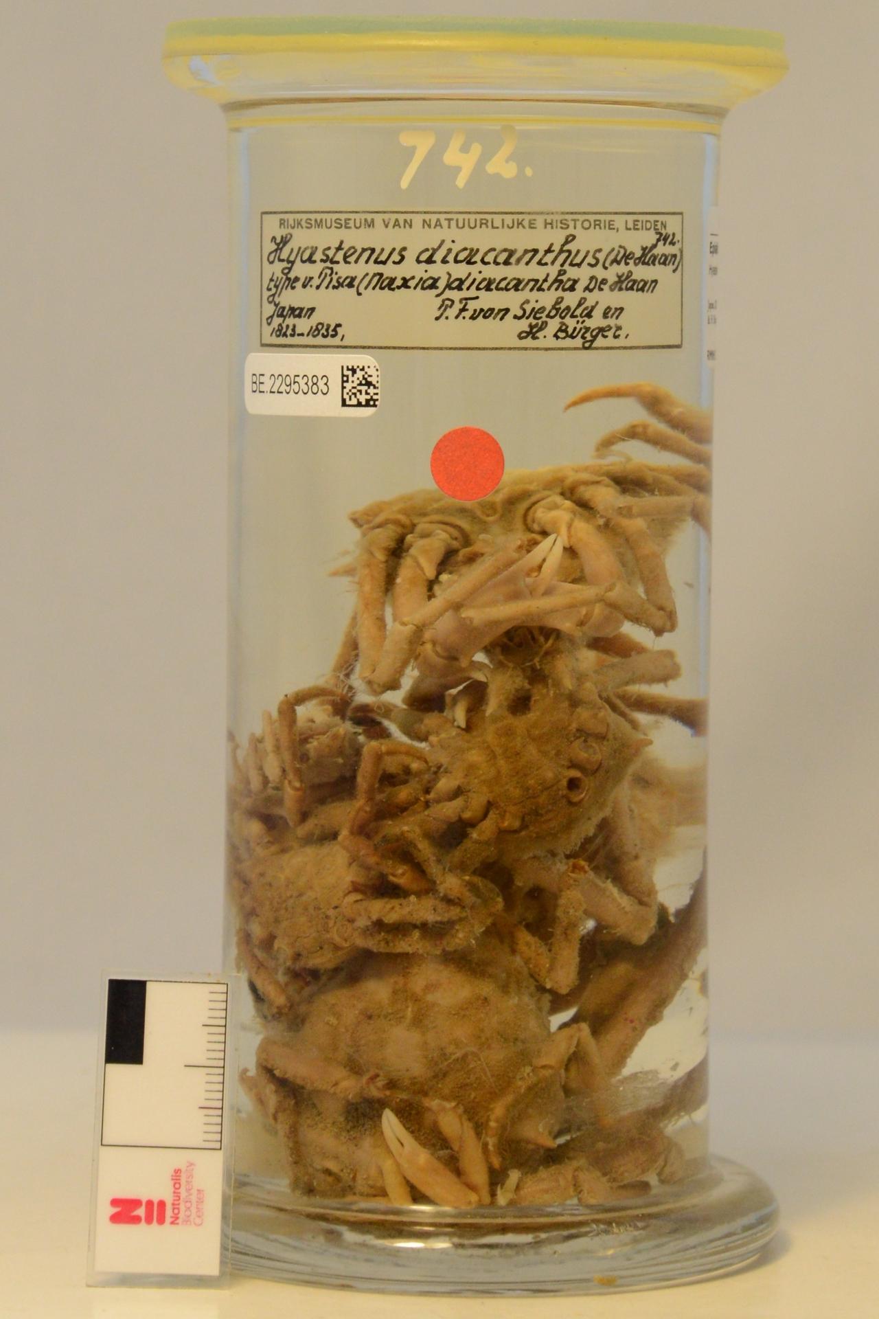 RMNH.CRUS.D.742 | Hyastenus diacanthus (De Haan, 1837)