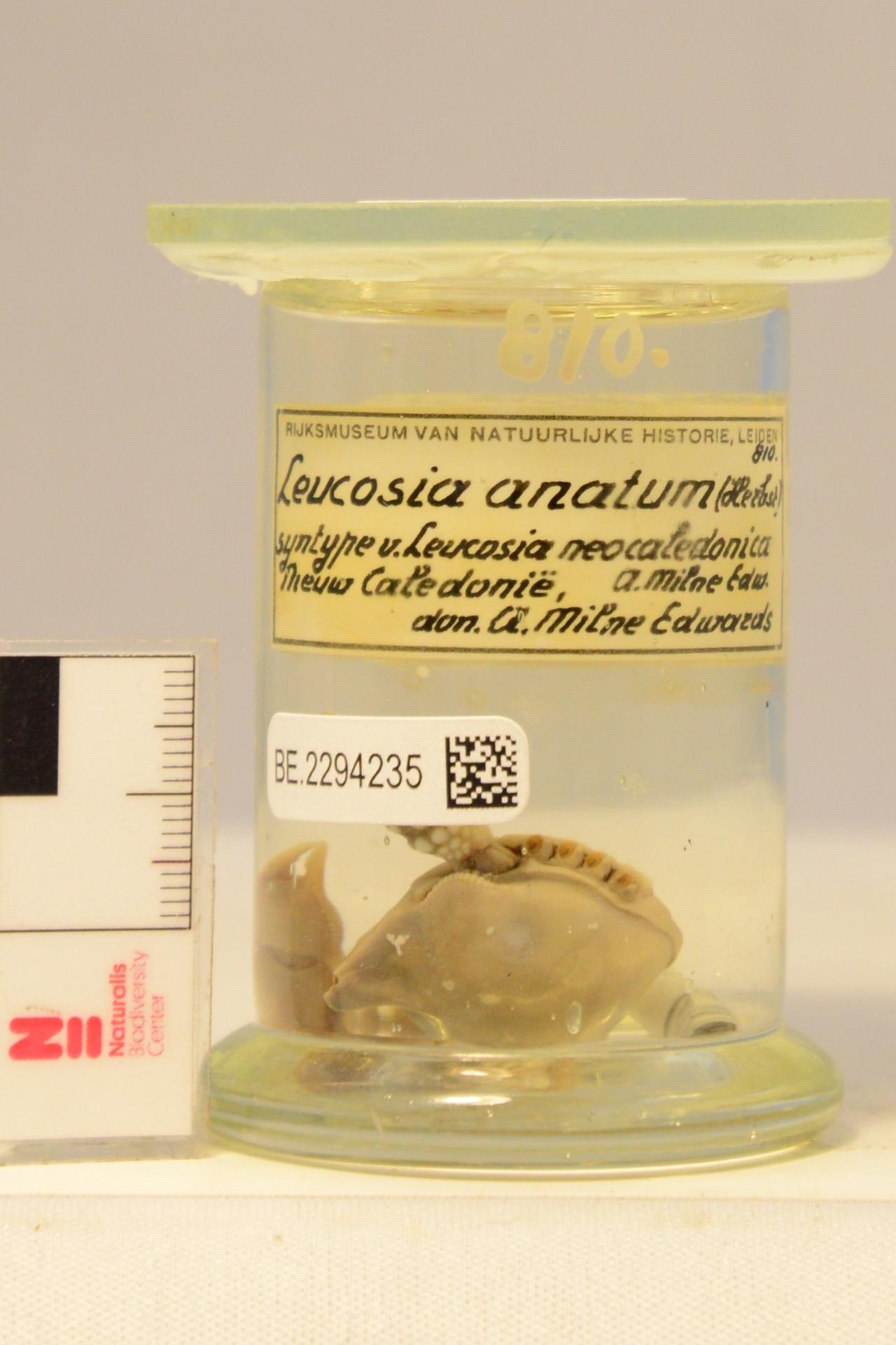RMNH.CRUS.D.810 | Leucosia anatum (Herbst, 1783)