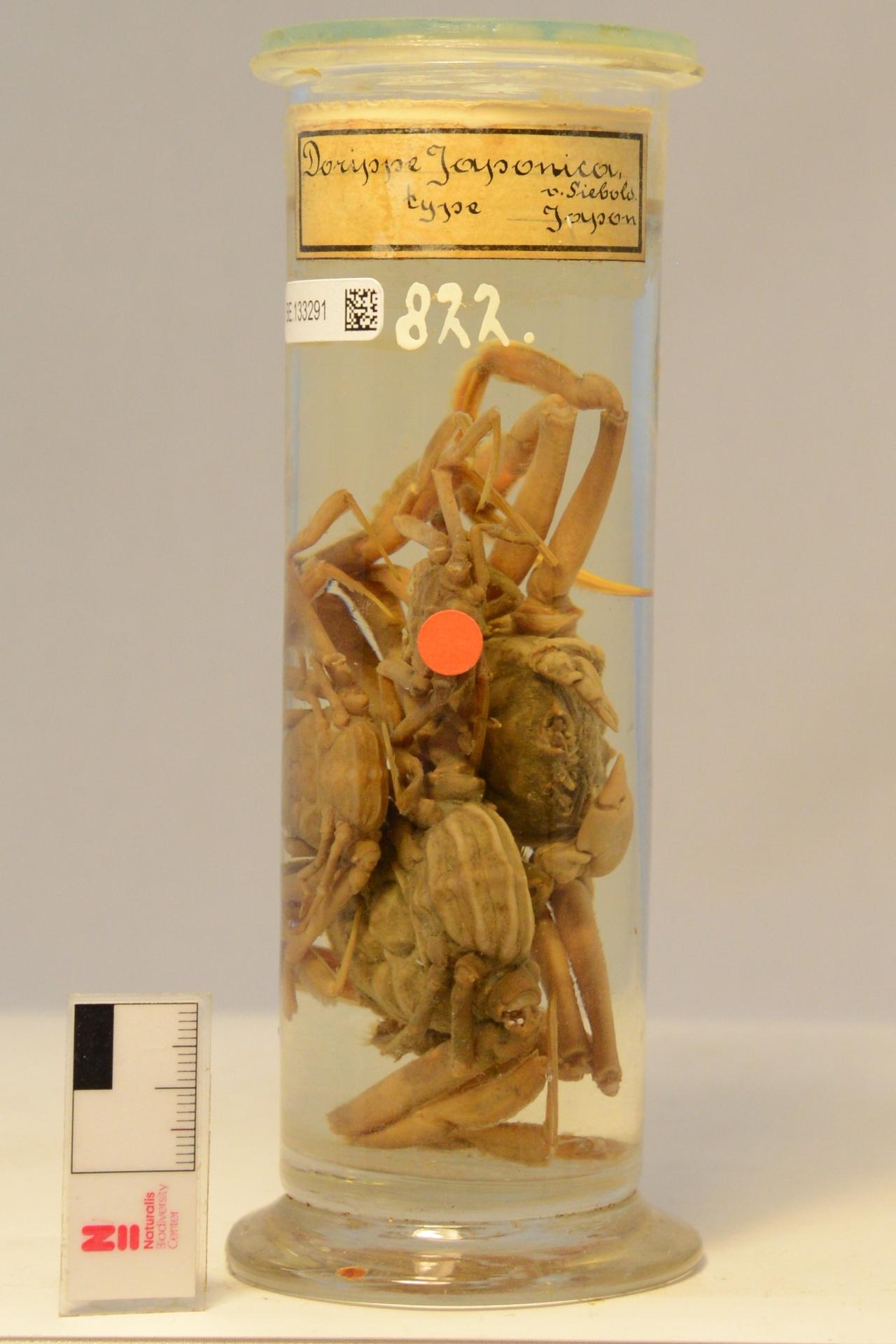 RMNH.CRUS.D.822 | Heikea japonica (Von Siebold, 1824)