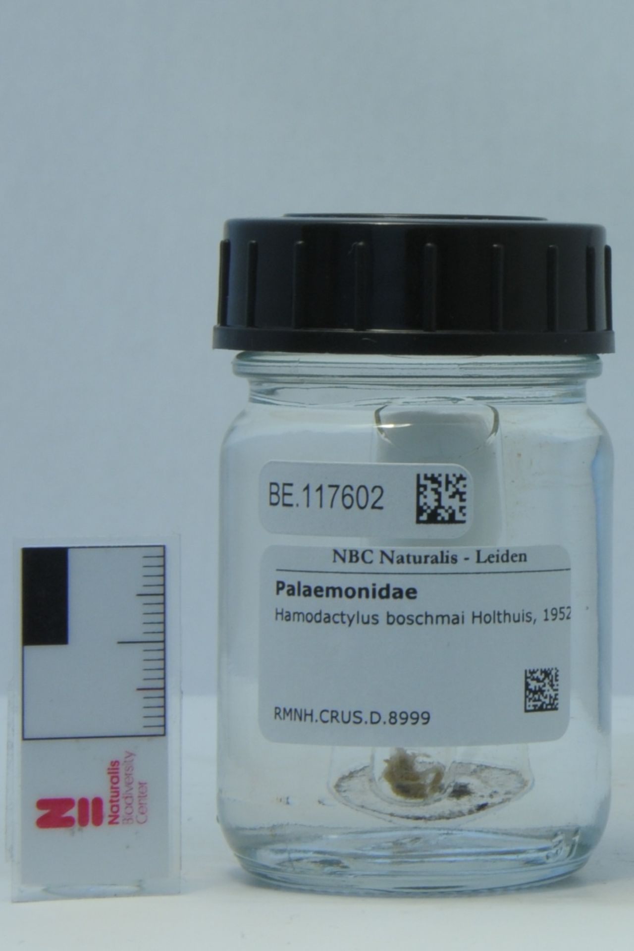 RMNH.CRUS.D.8999   Hamodactylus boschmai Holthuis, 1952