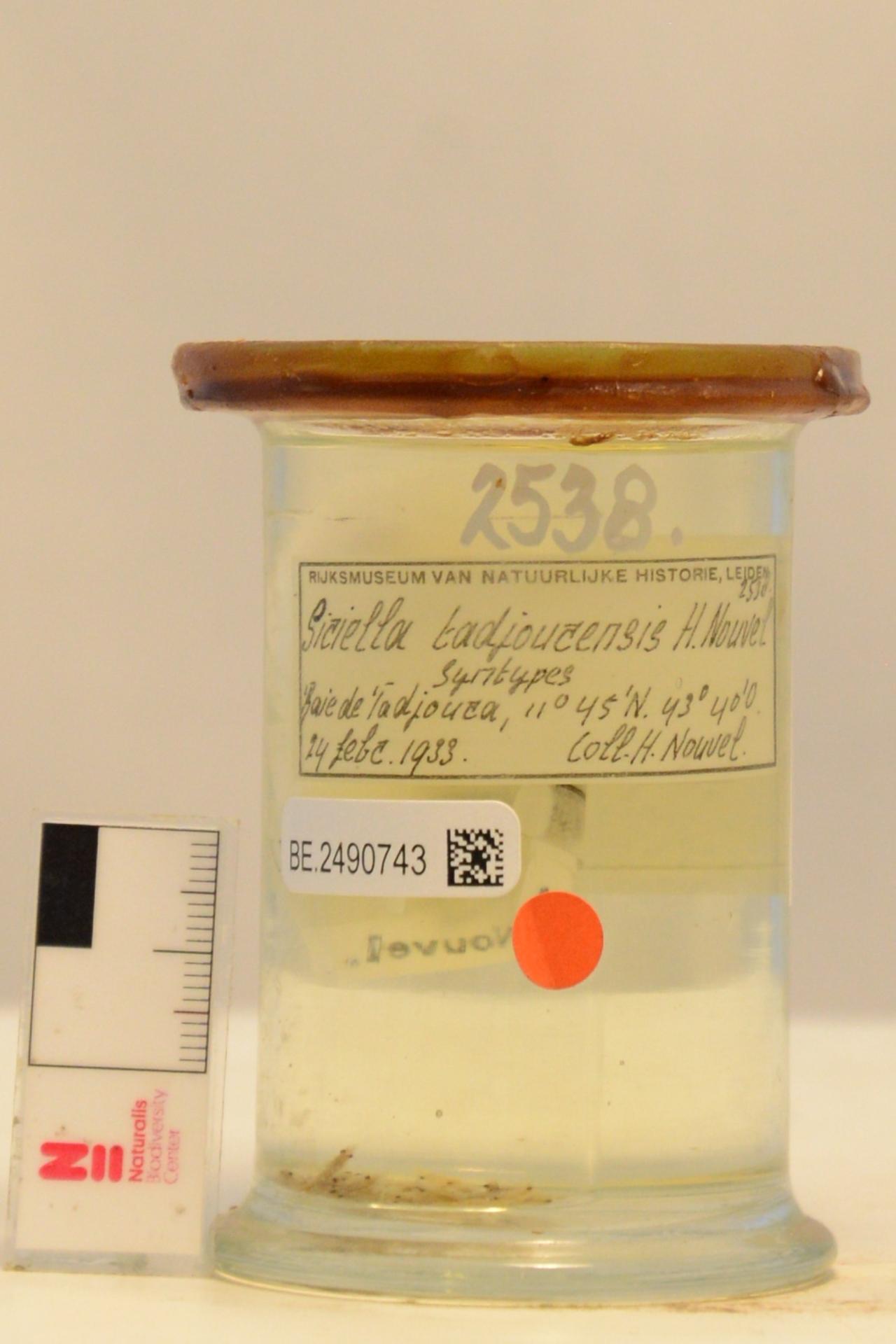 RMNH.CRUS.E.2538 | Siriella tadjourensis Nouvel, 1944
