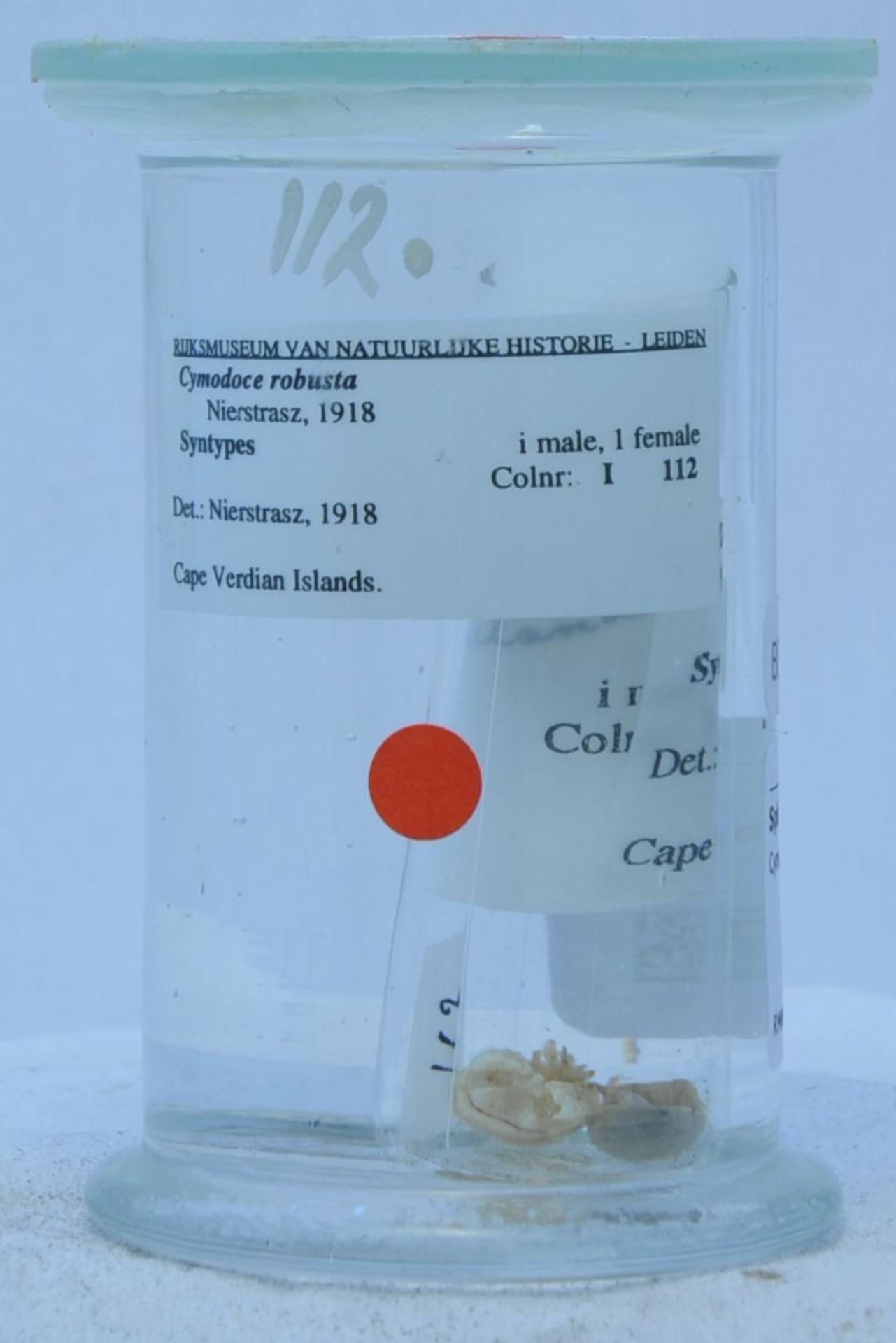 RMNH.CRUS.I.112 | Cymodoce robusta Nierstrasz, 1918