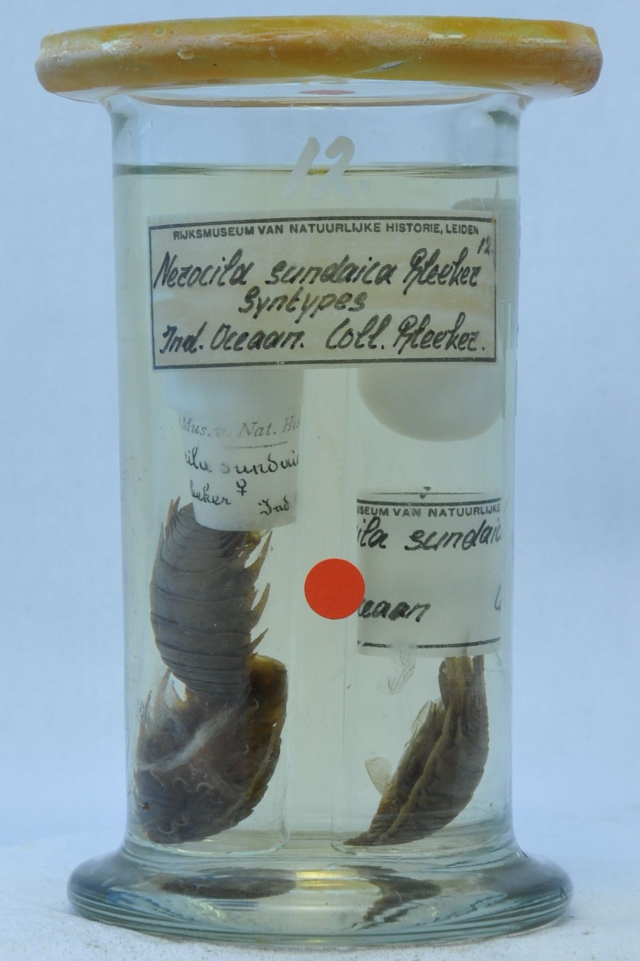 RMNH.CRUS.I.12   Nerocila sundaica Bleeker