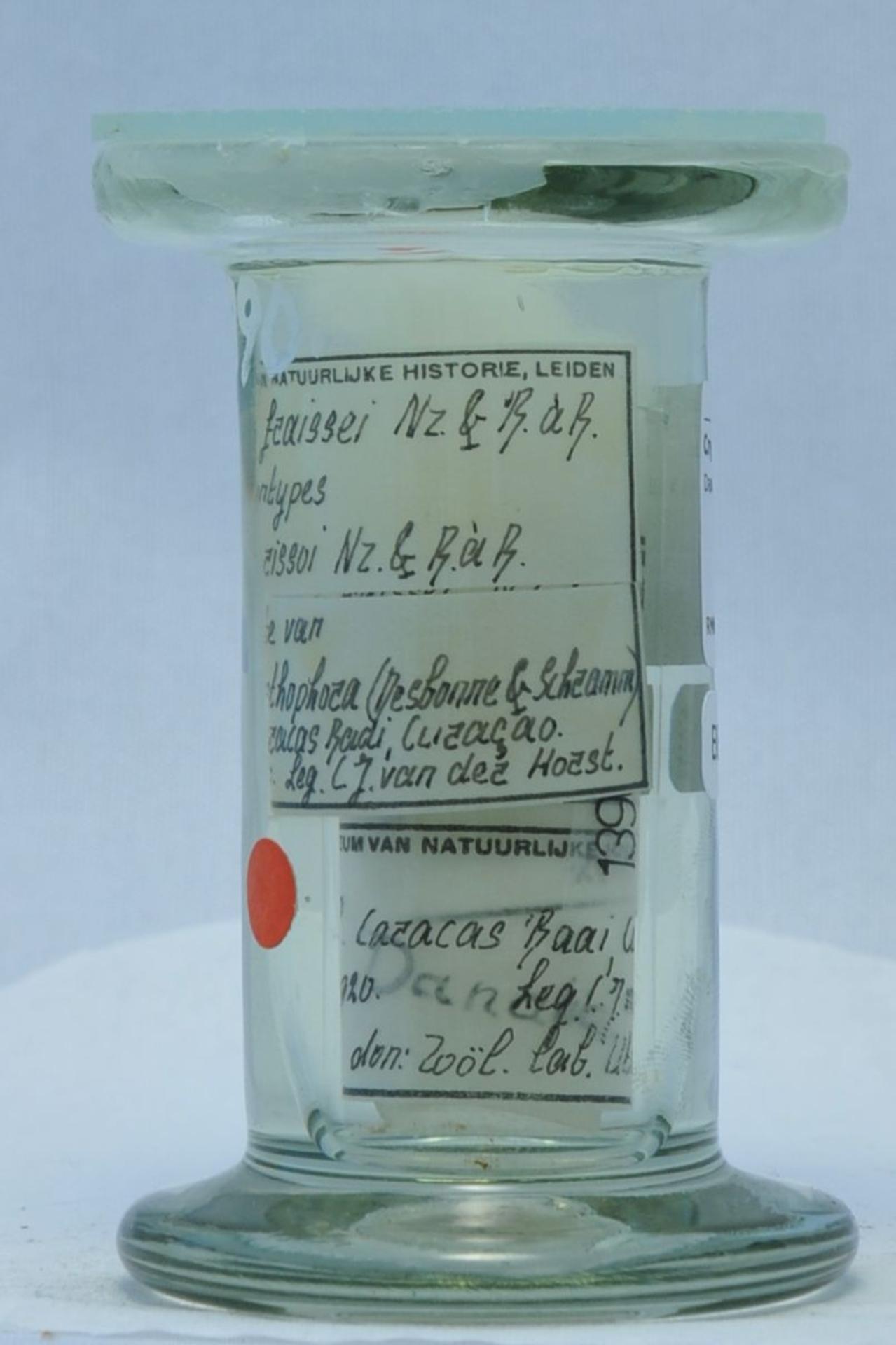 RMNH.CRUS.I.1390 | Danalia fraissei Nierstrasz & Brender à Brandis, 1925