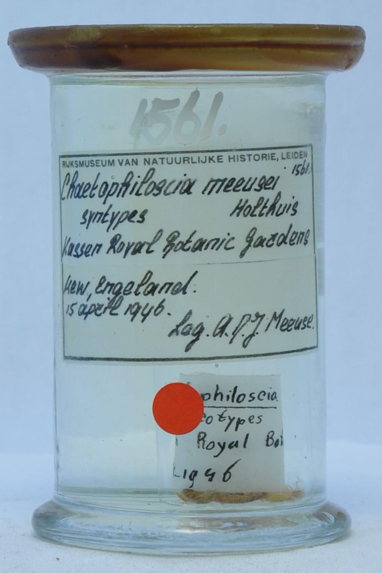 RMNH.CRUS.I.1561 | Chaetophiloscia meeusei Holthuis