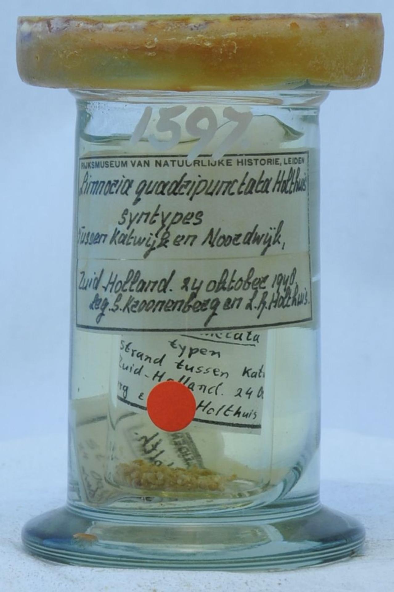 RMNH.CRUS.I.1597 | Limnoria quadripunctata Holthuis