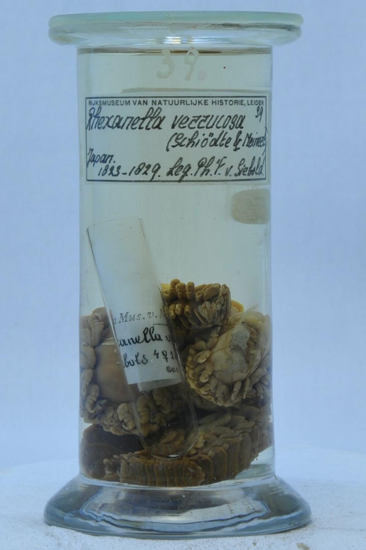 RMNH.CRUS.I.39 | Ceratothoa verrucosa (Schioedte & Meinert, 1883)