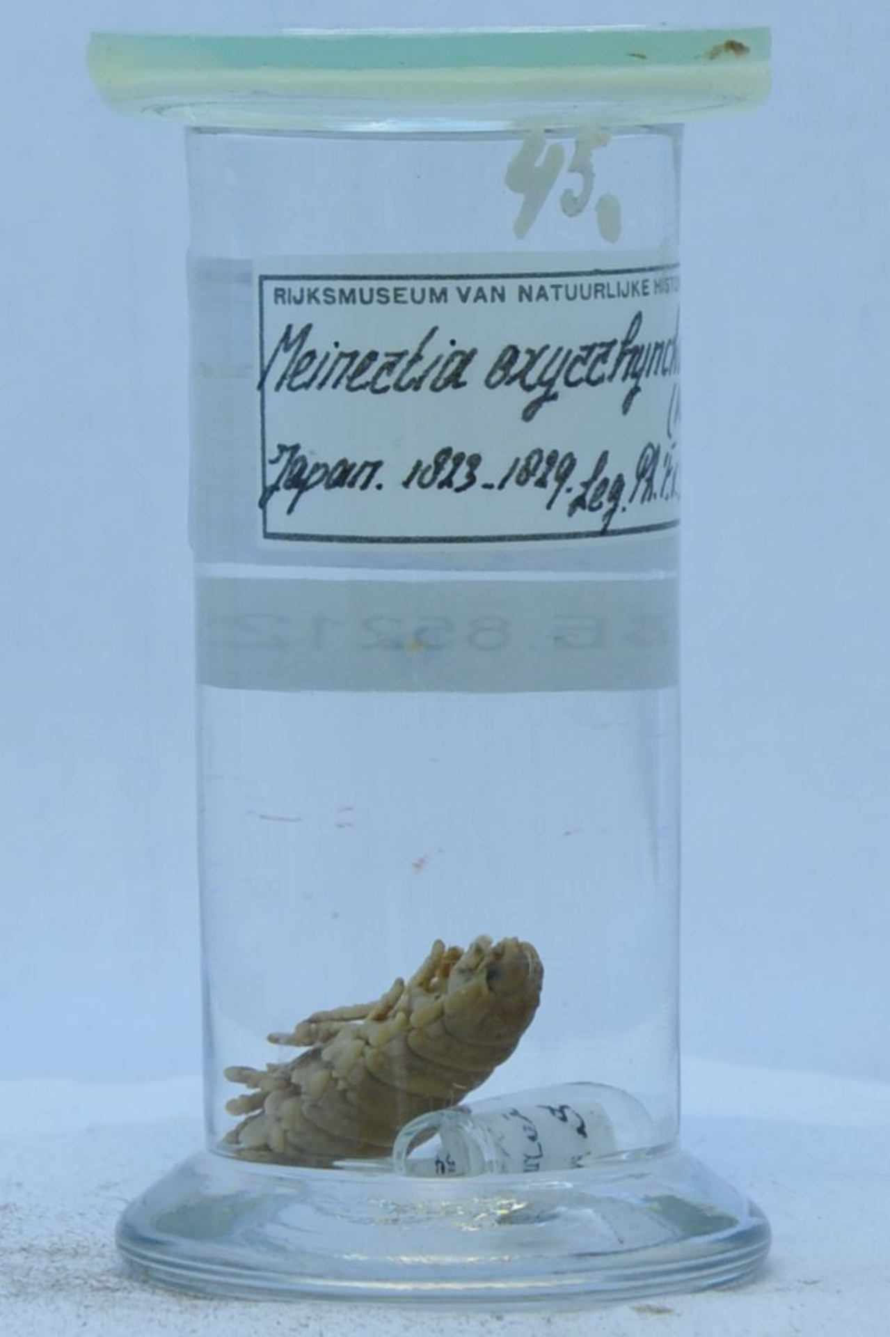 RMNH.CRUS.I.45   Meinertia oxyrrhynchaena (Koelbel)
