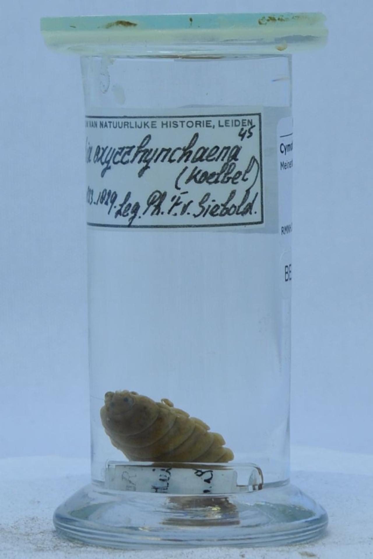 RMNH.CRUS.I.45 | Meinertia oxyrrhynchaena (Koelbel)