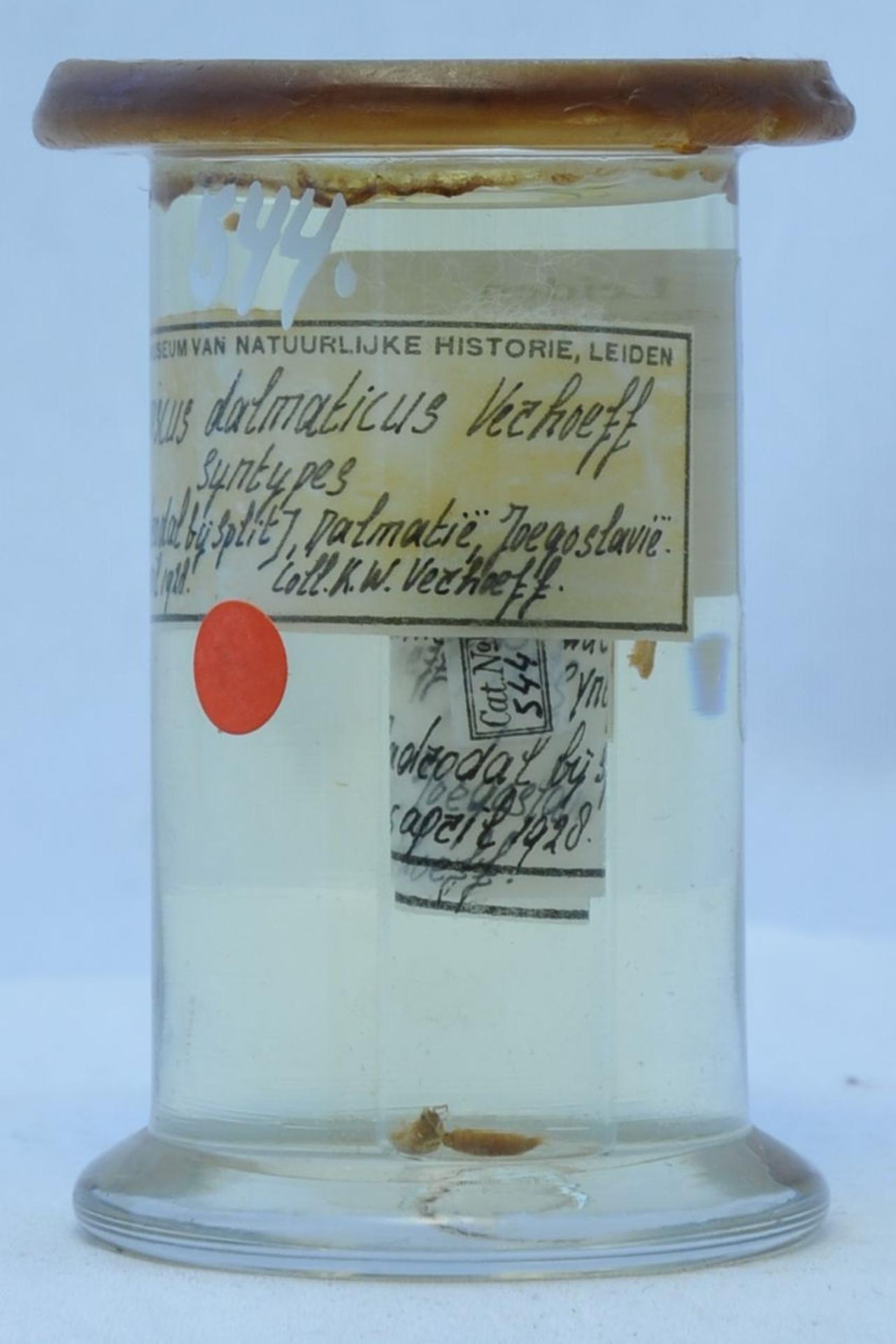 RMNH.CRUS.I.544 | Hyloniscus dalmaticus Verhoeff