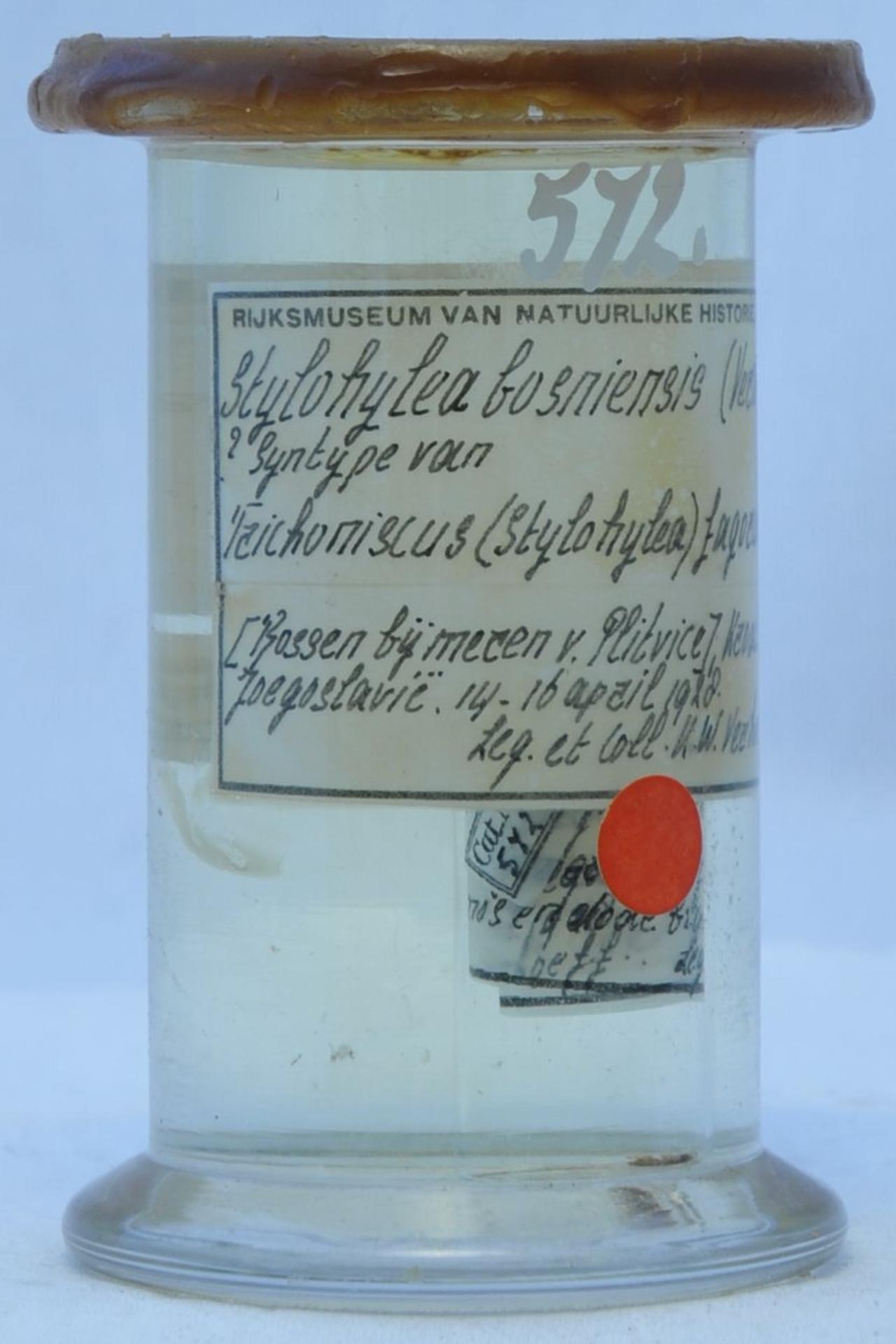RMNH.CRUS.I.572 | Stylohylea bosniensis (Verhoeff)