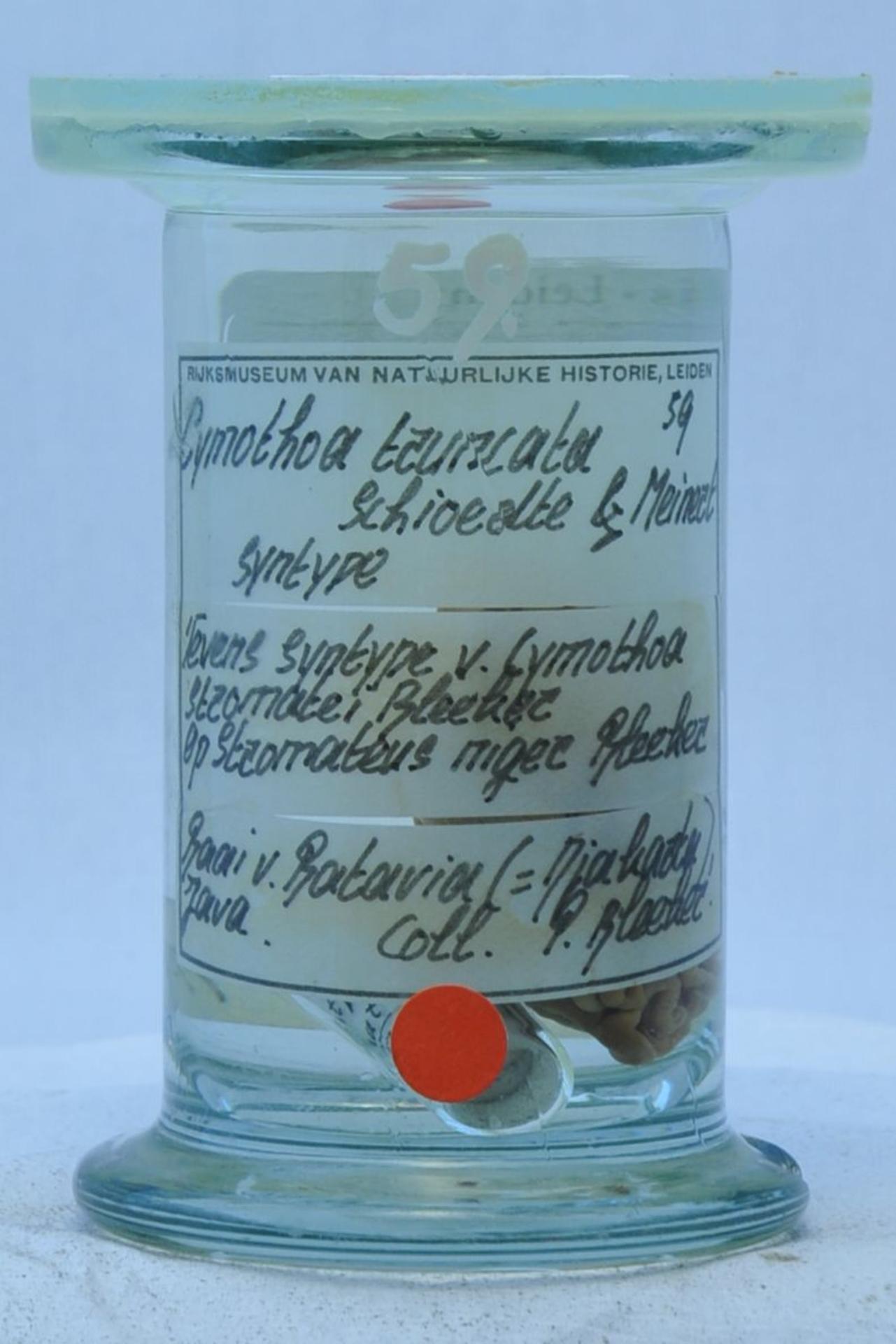 RMNH.CRUS.I.59 | Cymothoa truncata Schioedte & Meinert