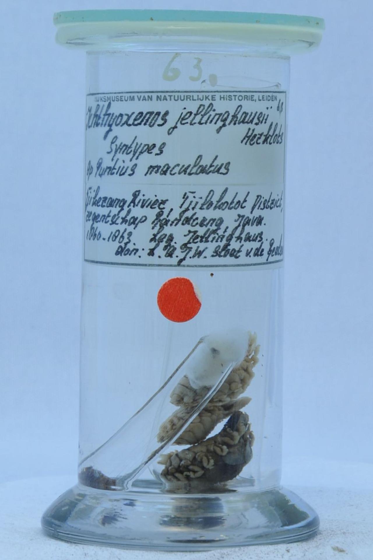 RMNH.CRUS.I.63   Ichthyoxenus jellinghausii Herklots