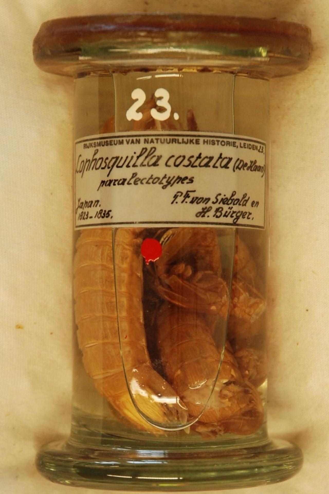 RMNH.CRUS.S.23 | Lophosquilla costata (De Haan)