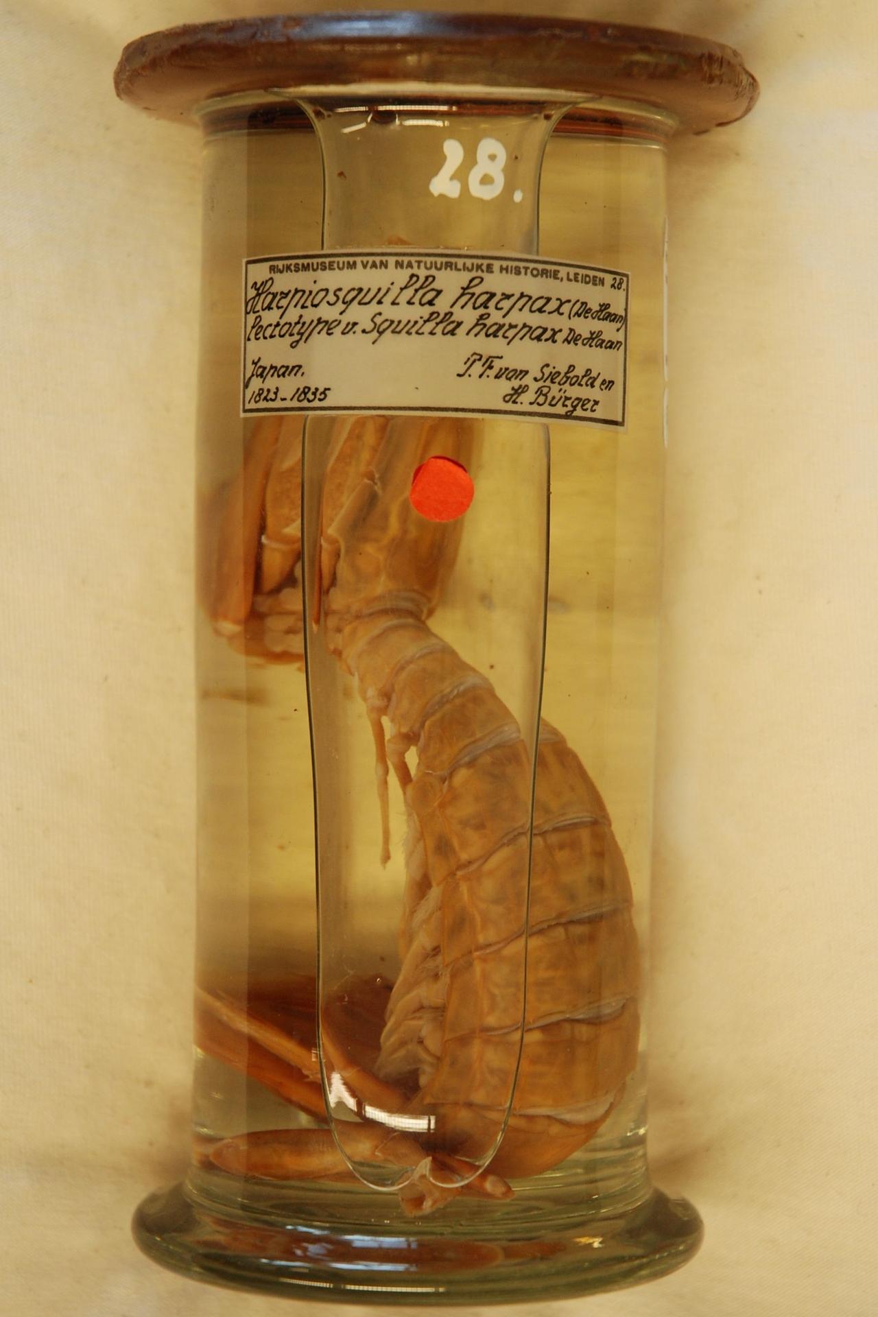 RMNH.CRUS.S.28 | Harpiosquilla harpax (De Haan, 1844)