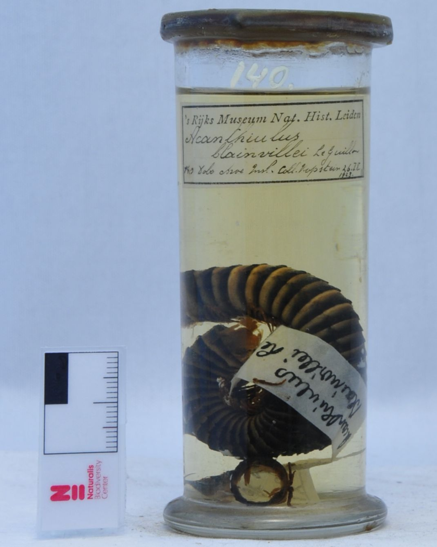 RMNH.DIP.140   Acanthiulus blainvillei Le Guillon