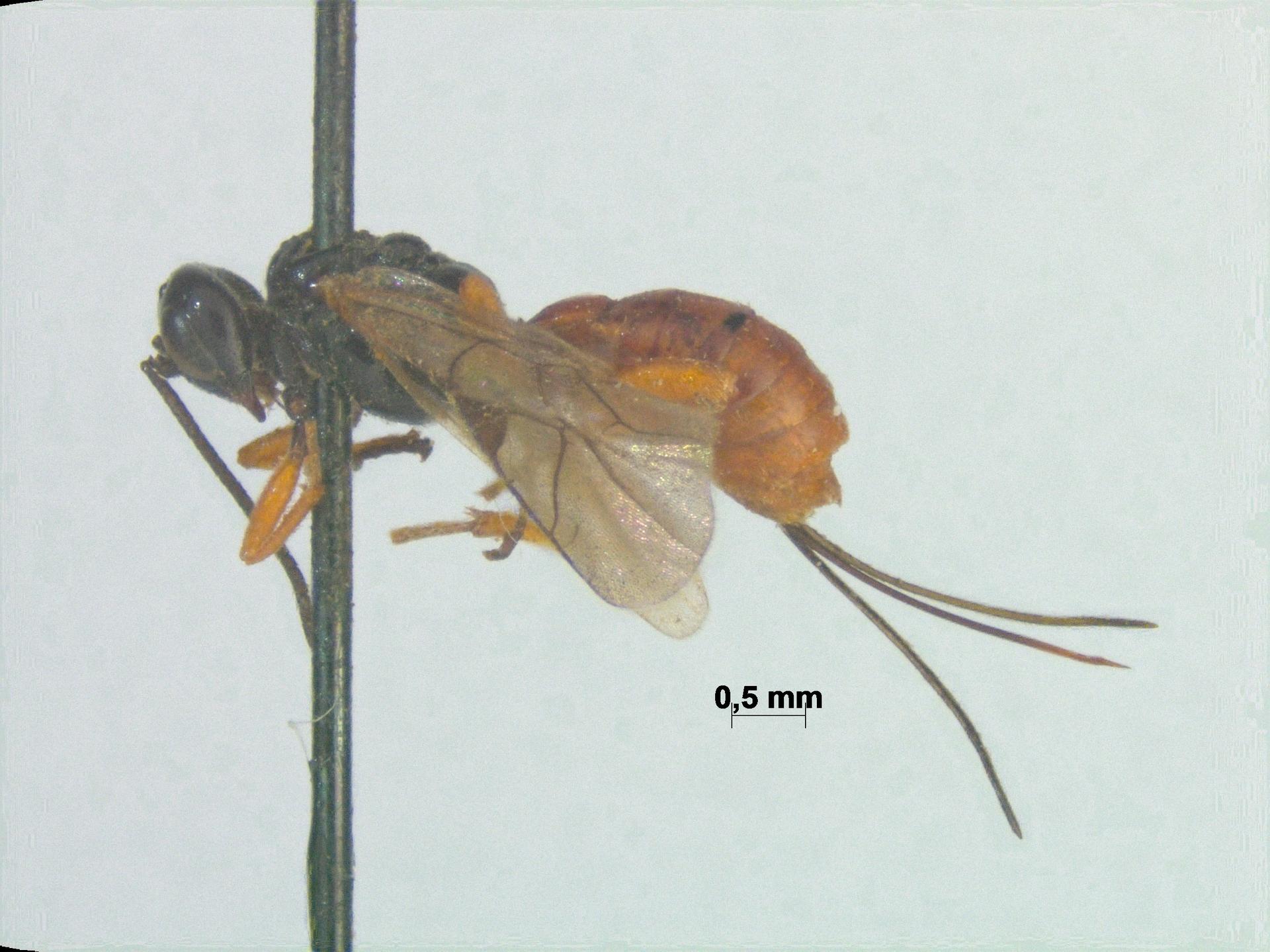 RMNH.INS.108757 | Phaestacoenitus demeyerei Smits van Burgst, 1913