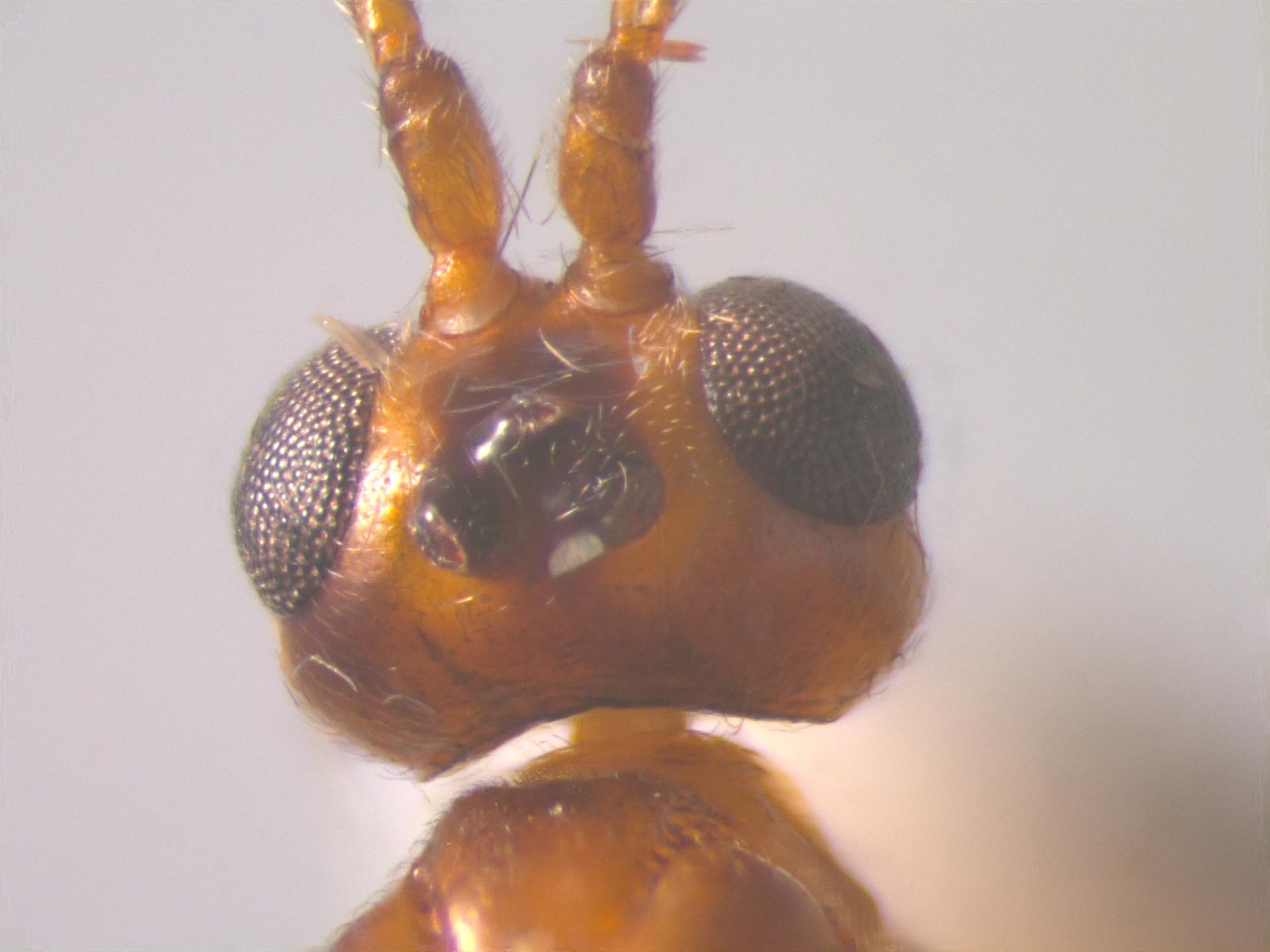 RMNH.INS.108896 | Leiophron falcatus Nees, 1834