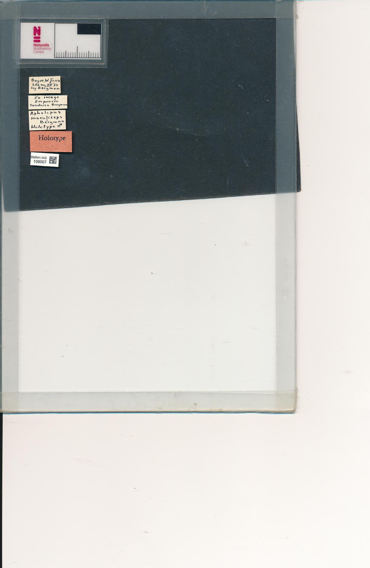 RMNH.INS.109007   Aphelopus maculiceps Bergman, 1957