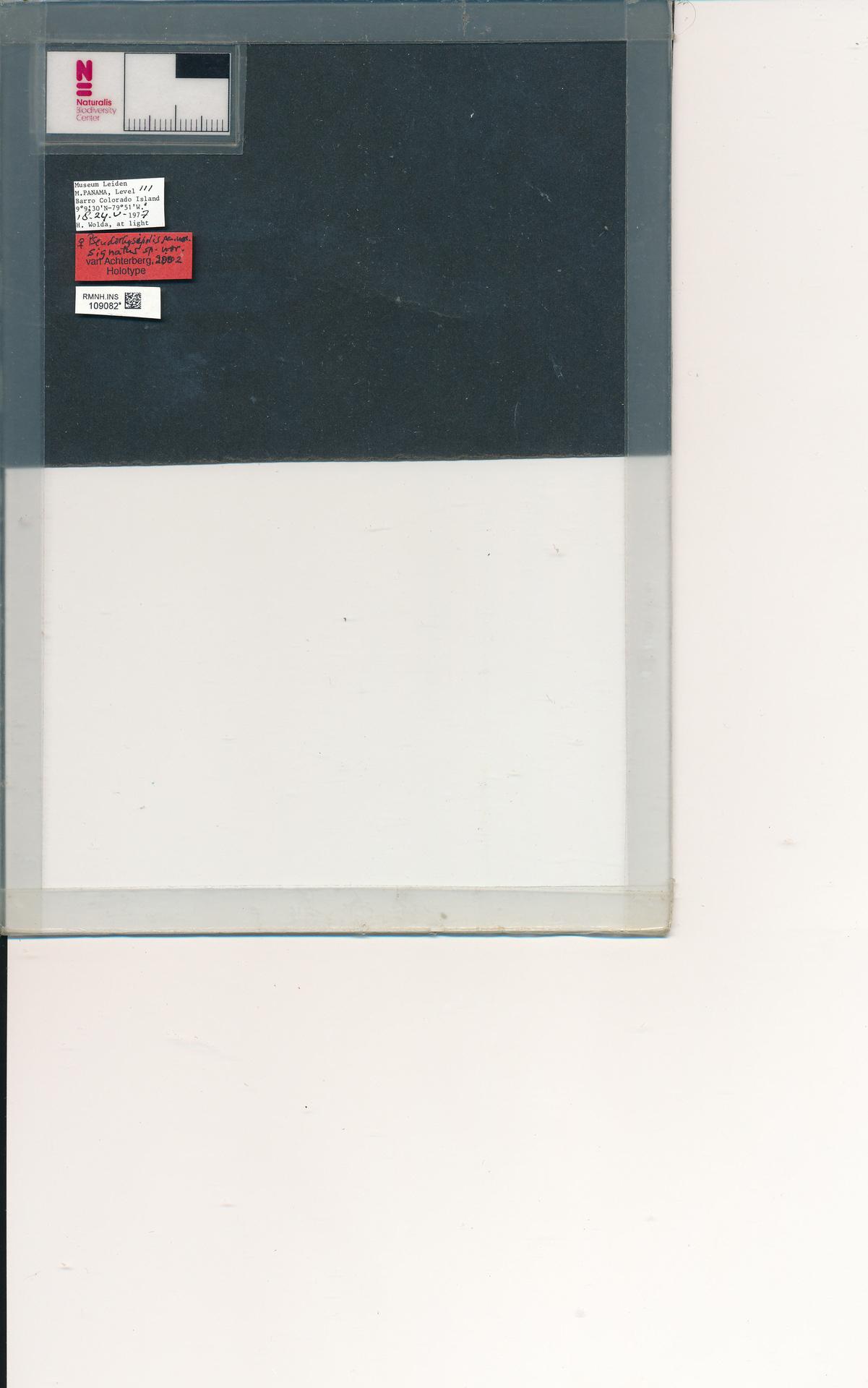 RMNH.INS.109082 | Pseudorhysipolis signatus van Achterberg, 2002