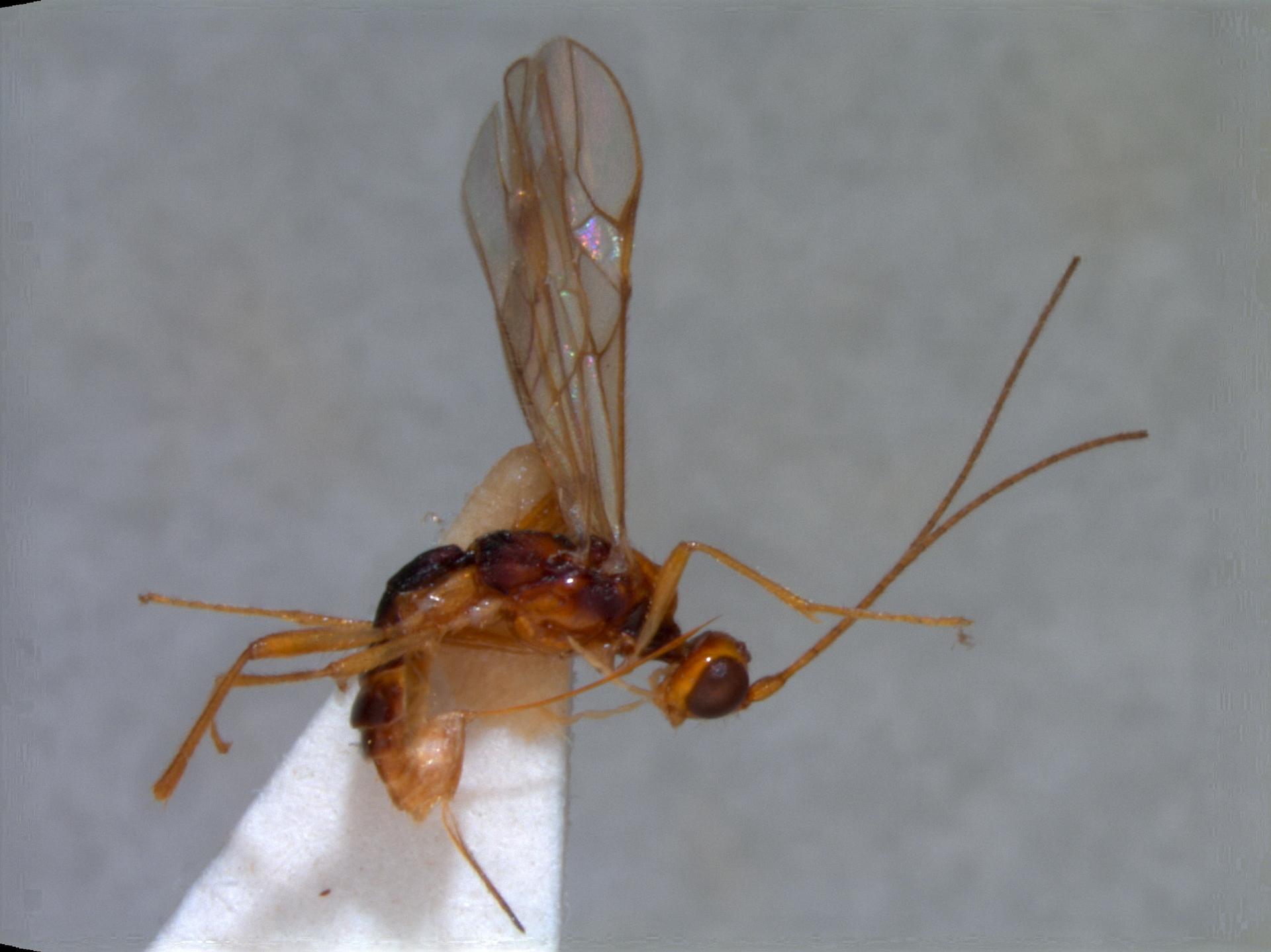 RMNH.INS.109087 | Pseudorhysipolis mellifacies van Achterberg, 2002