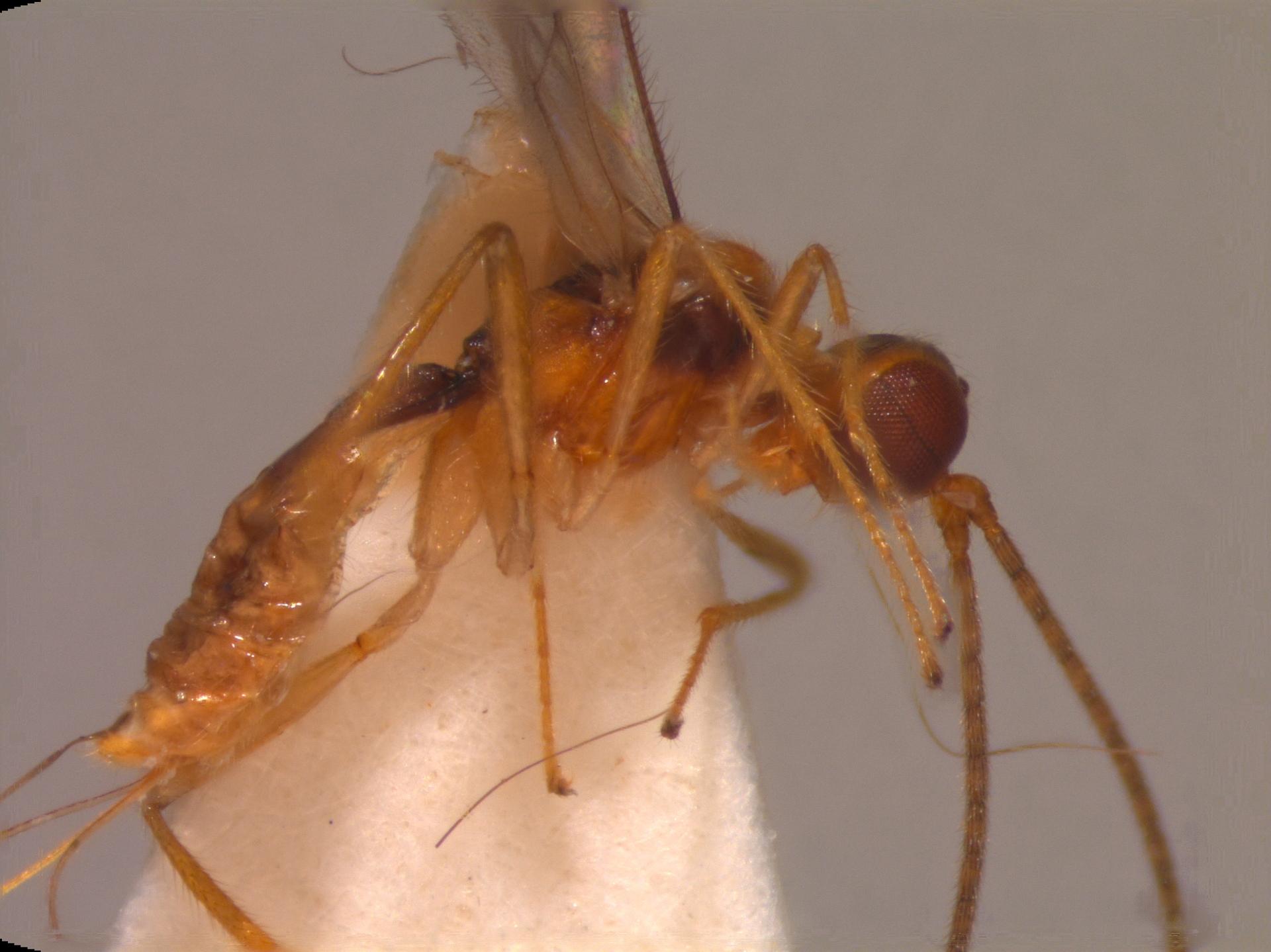 RMNH.INS.109692 | Pseudorhysipolis fenix Scatolini & Penteado-Dias, 2002