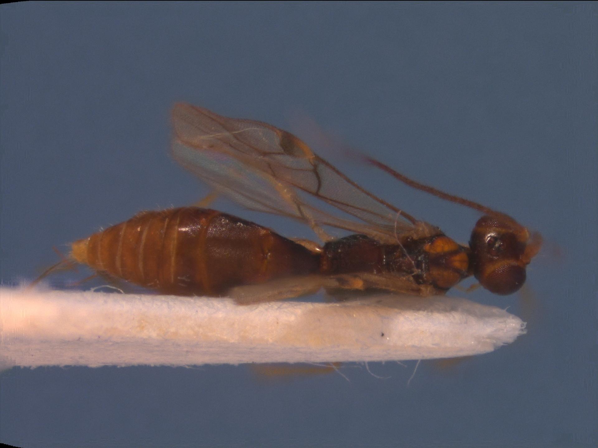 RMNH.INS.109693 | Pseudorhysipolis granulatus van Achterberg, 2002