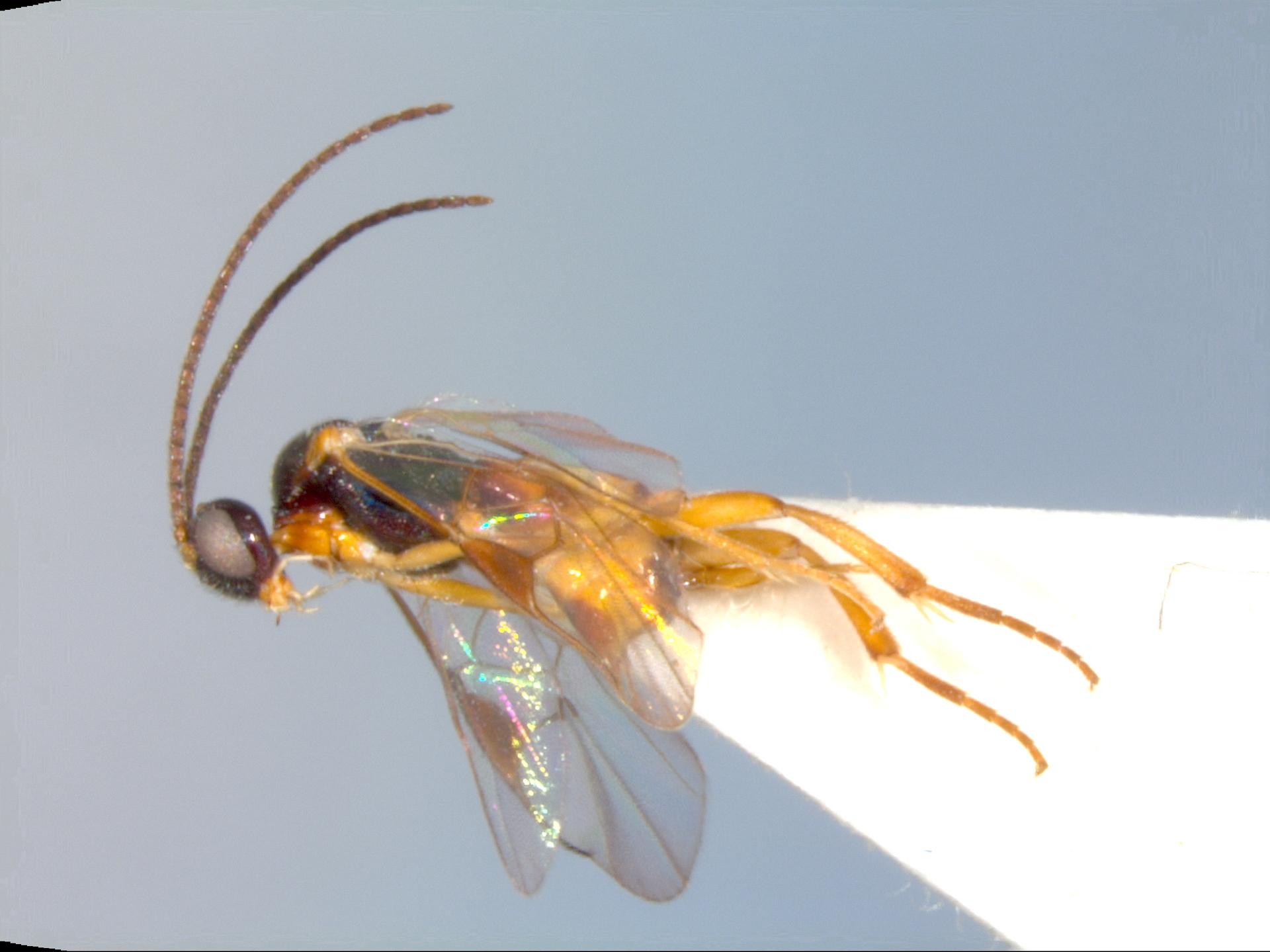 RMNH.INS.1105409   Distatrix yemeniticus van Achterberg & Fernandez-Triana, 2017