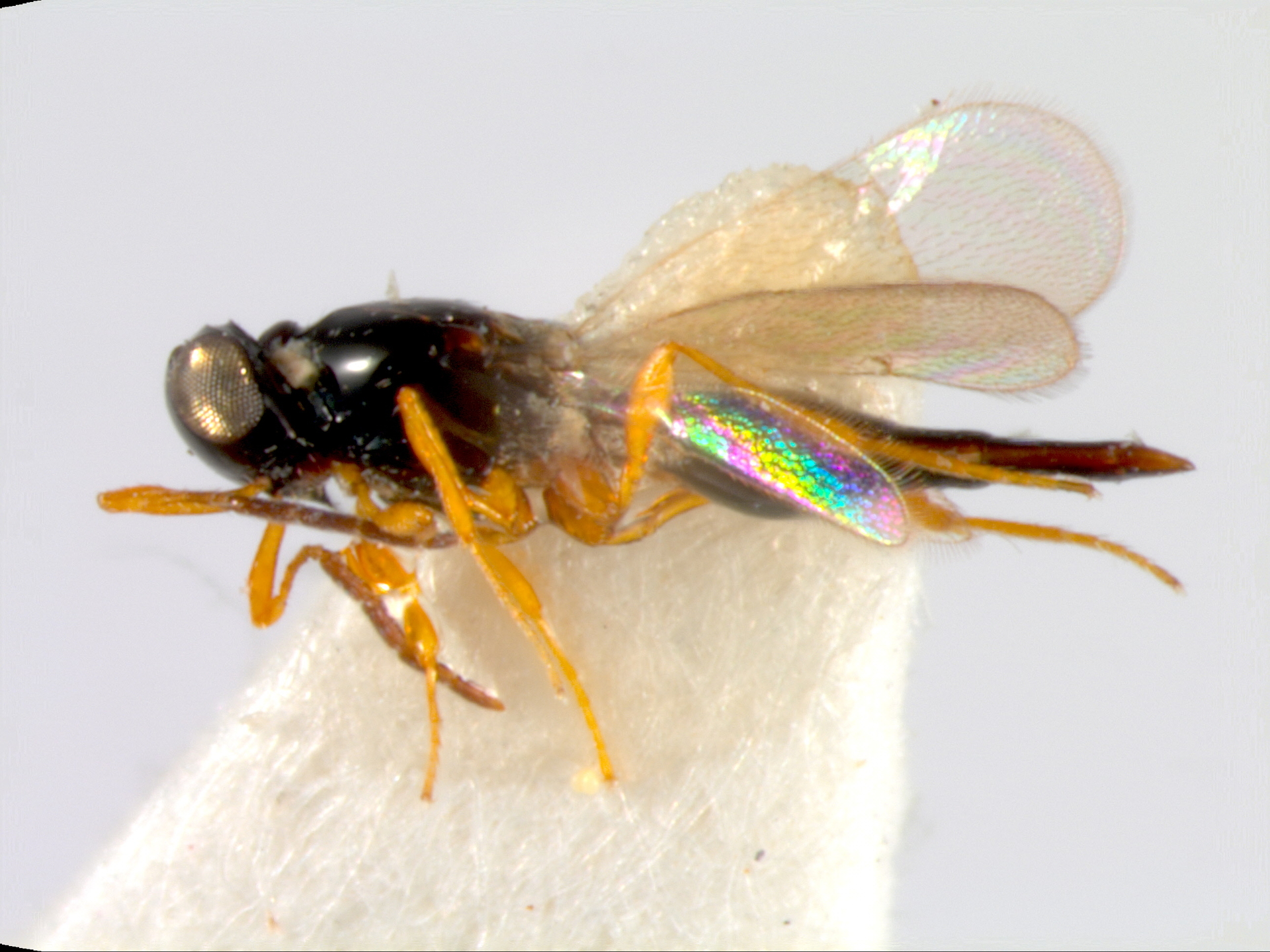 RMNH.INS.1105451 | Gastrotrypes malaysianus Buhl, 2008