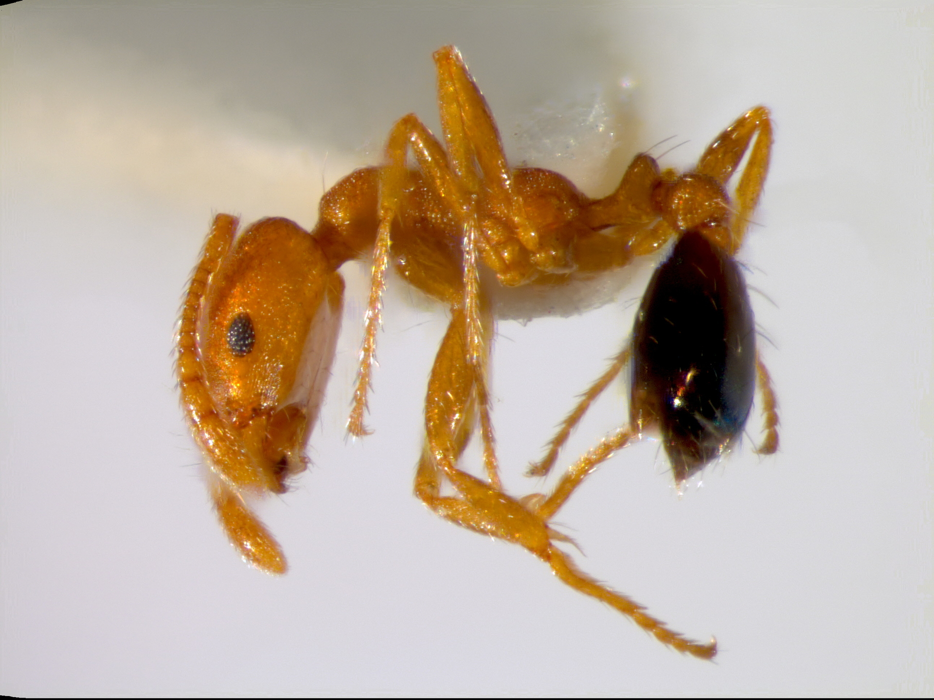 RMNH.INS.1105458 | Monomorium pidurangalensis Boer, in prep