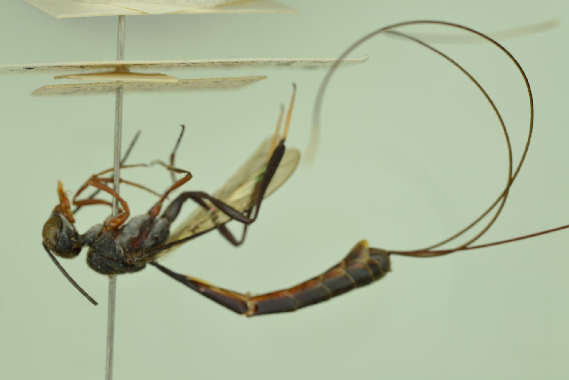 RMNH.INS.1105745   Gasteruption varians Pasteels, 1956