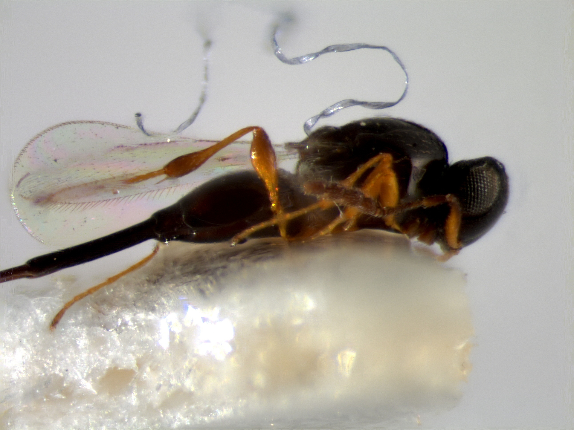 RMNH.INS.1148201 | Synopeas longulus Buhl, 2008